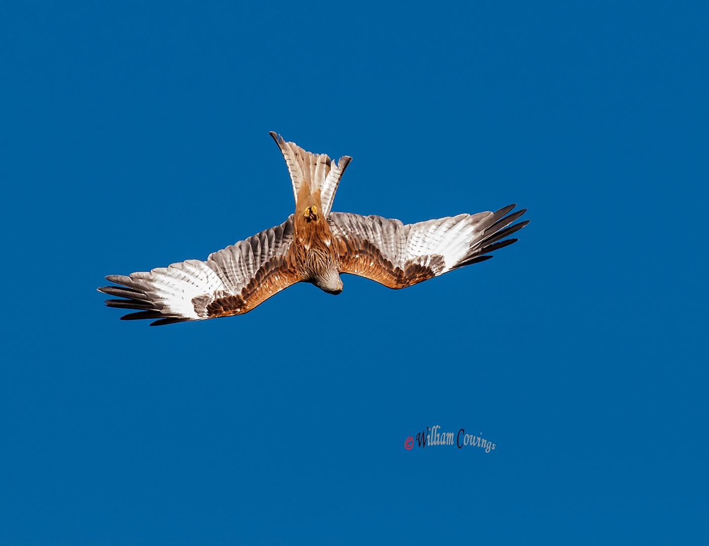 Red Kite dive by williamcowings