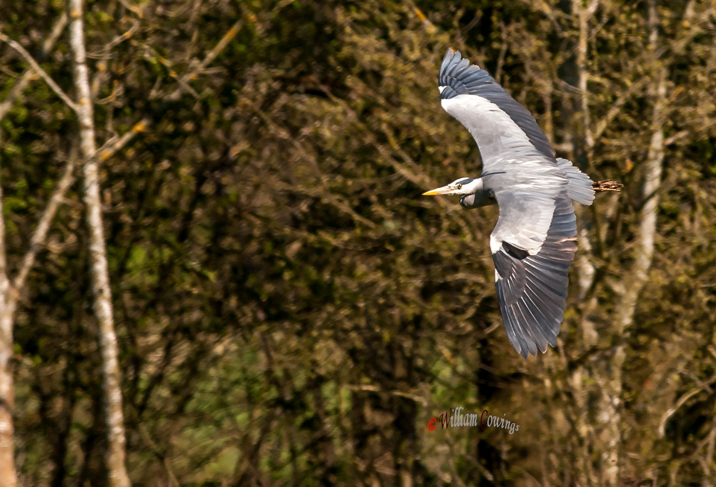 A Grey Heron Turn by williamcowings