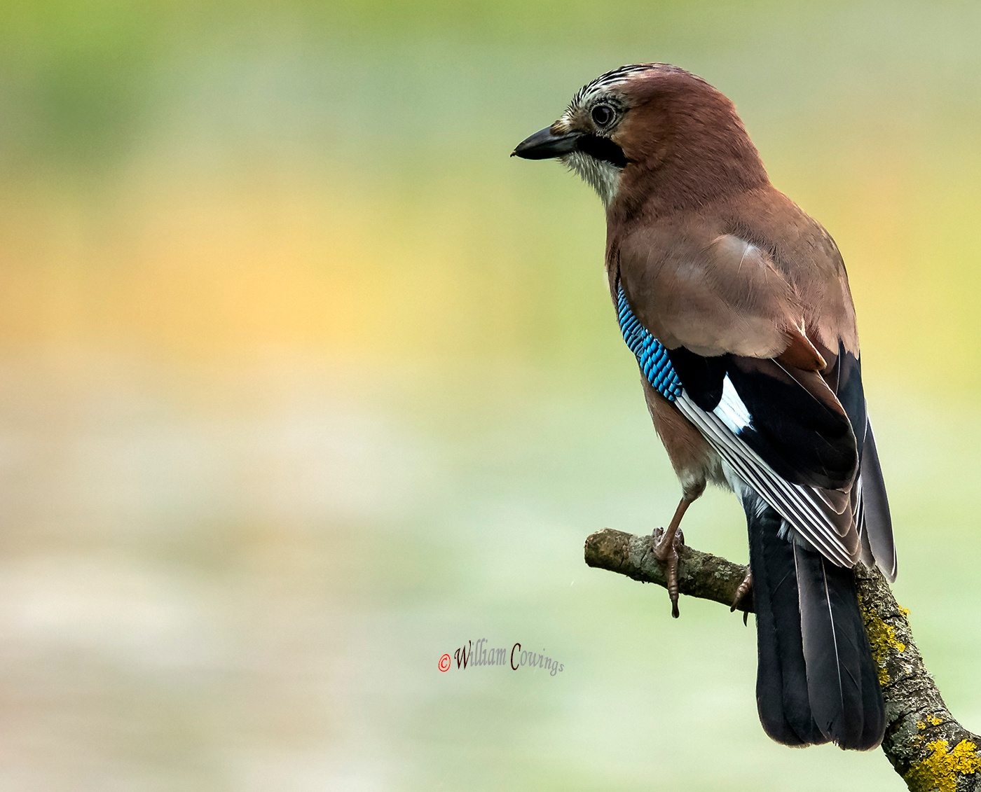 Perched Jay by williamcowings