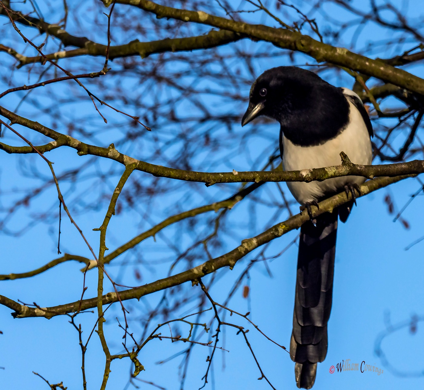 Magpie by williamcowings