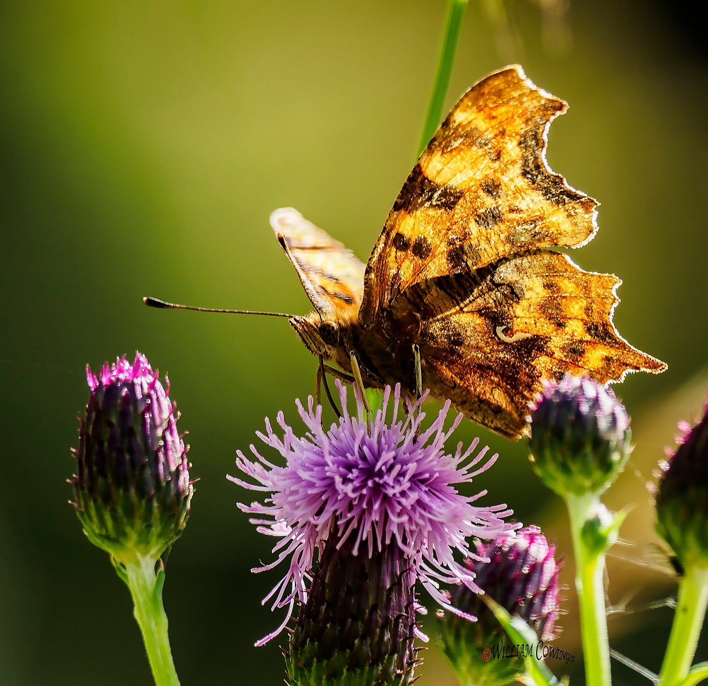 Comma Butterfly by williamcowings