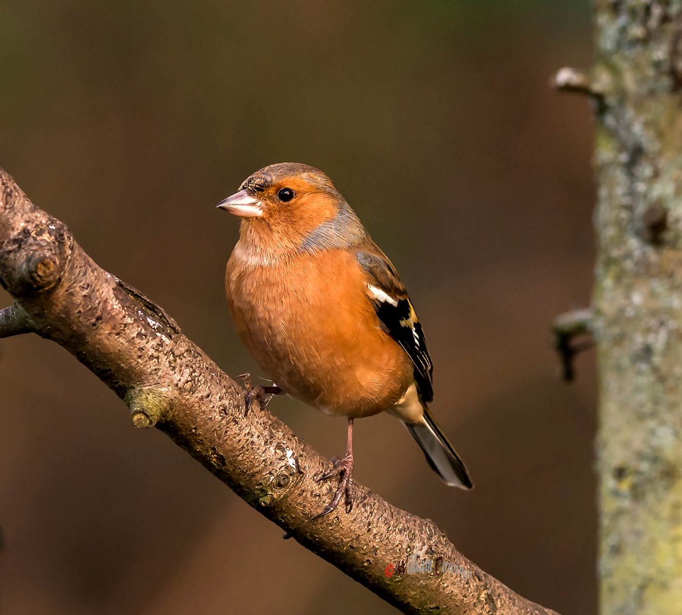 Chaffinch by williamcowings