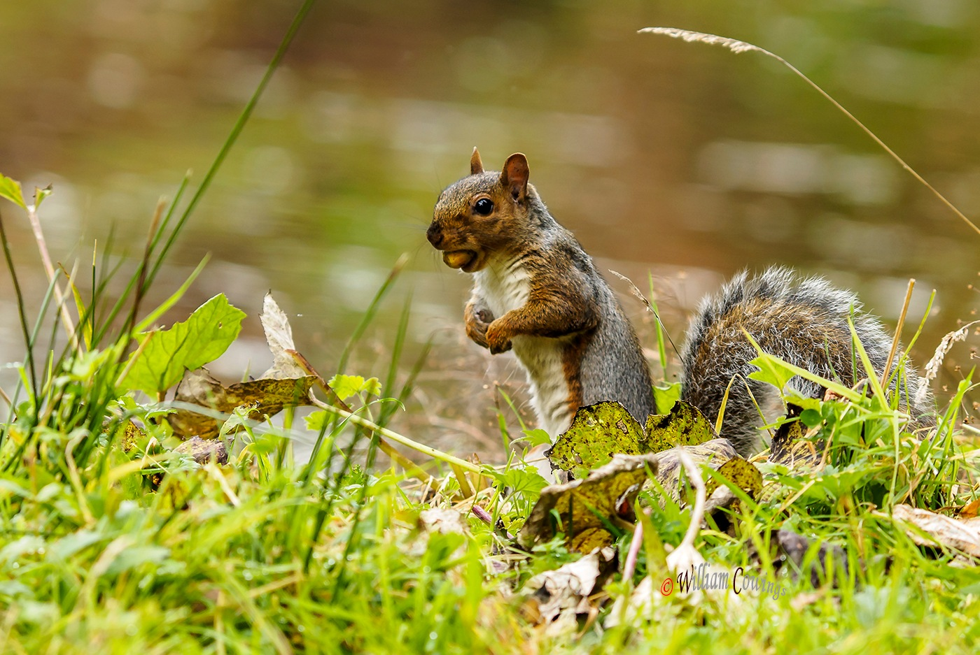 Grey Squirrel by williamcowings
