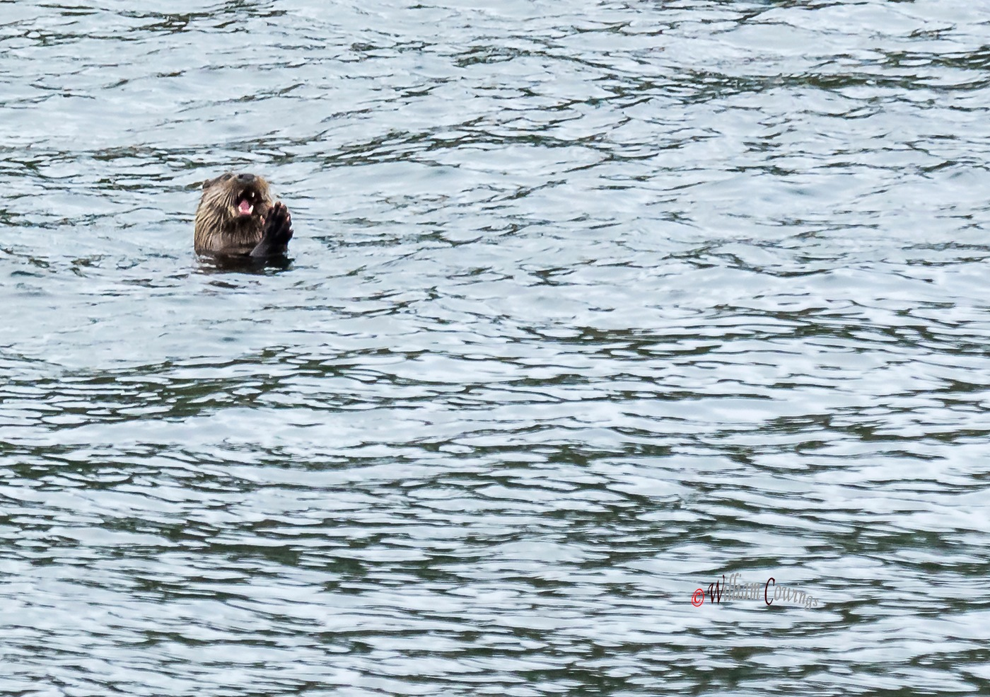 Otter by williamcowings