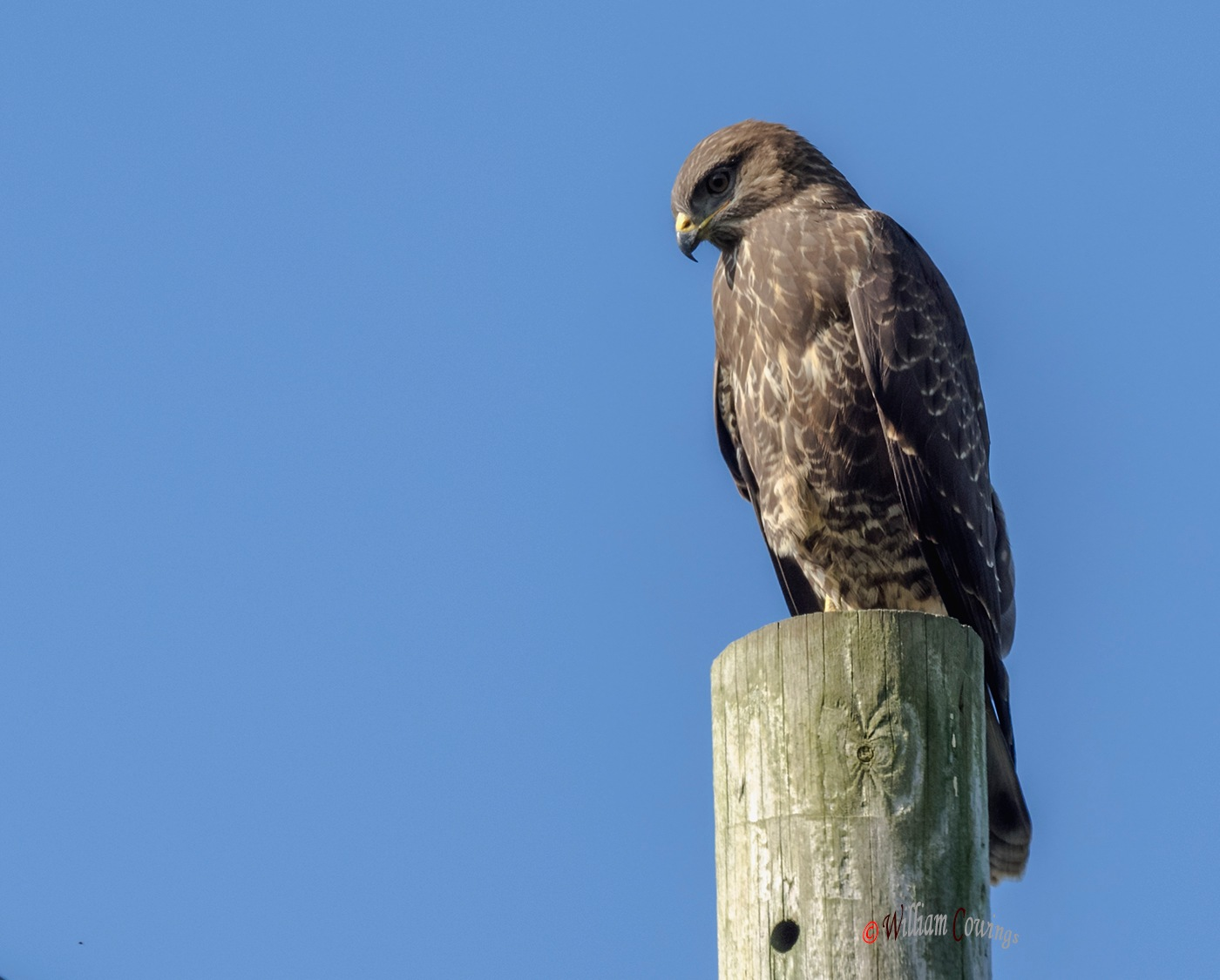 Common Buzzard by williamcowings
