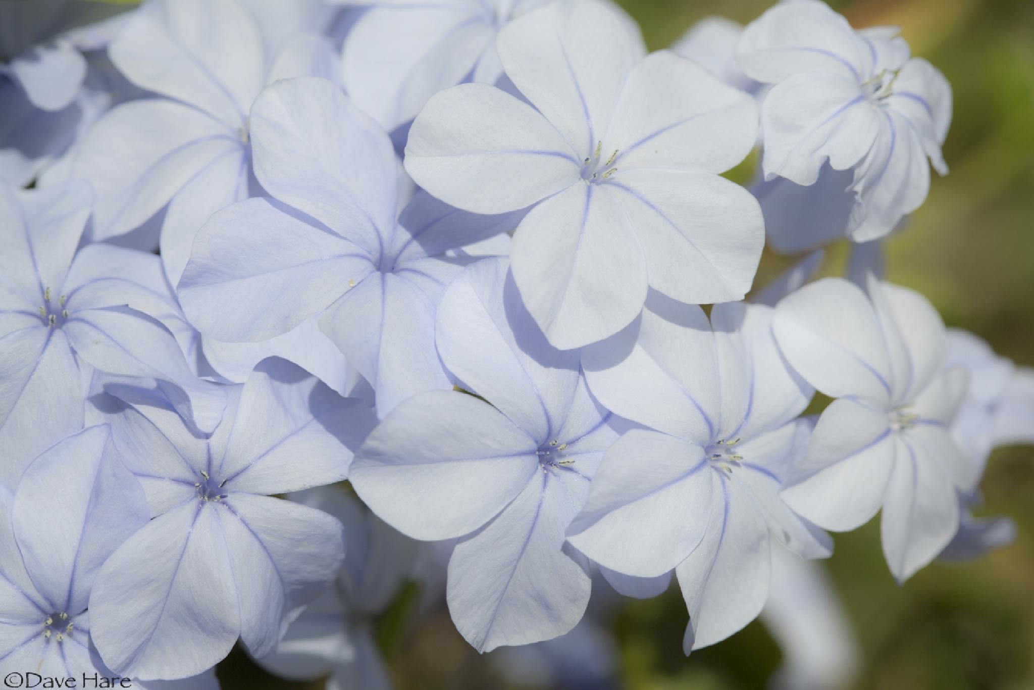 Tiny blue flowers. by davehare