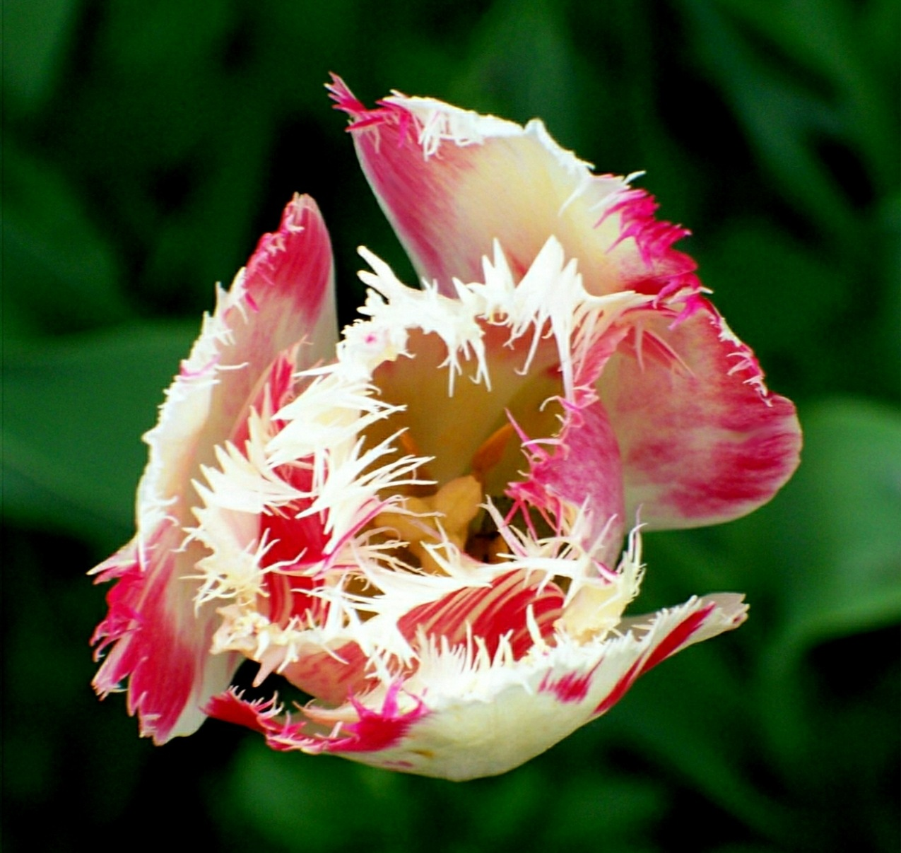Parrot Tulip Yawn 5 by RMCROC