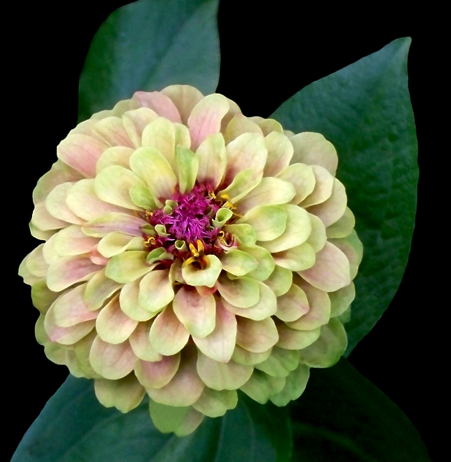 Zesty Zinnia 7 by RMCROC