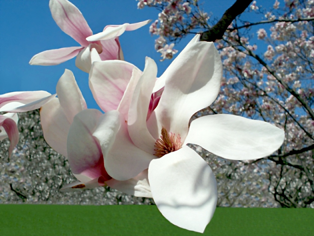 Magnificent Magnolia 3 by RMCROC