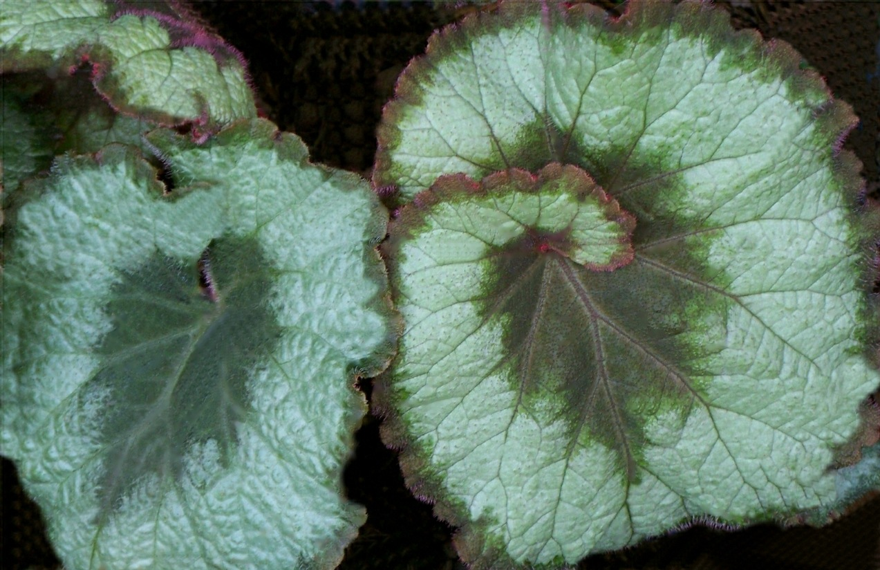 Beautiful Begonia 1 by RMCROC