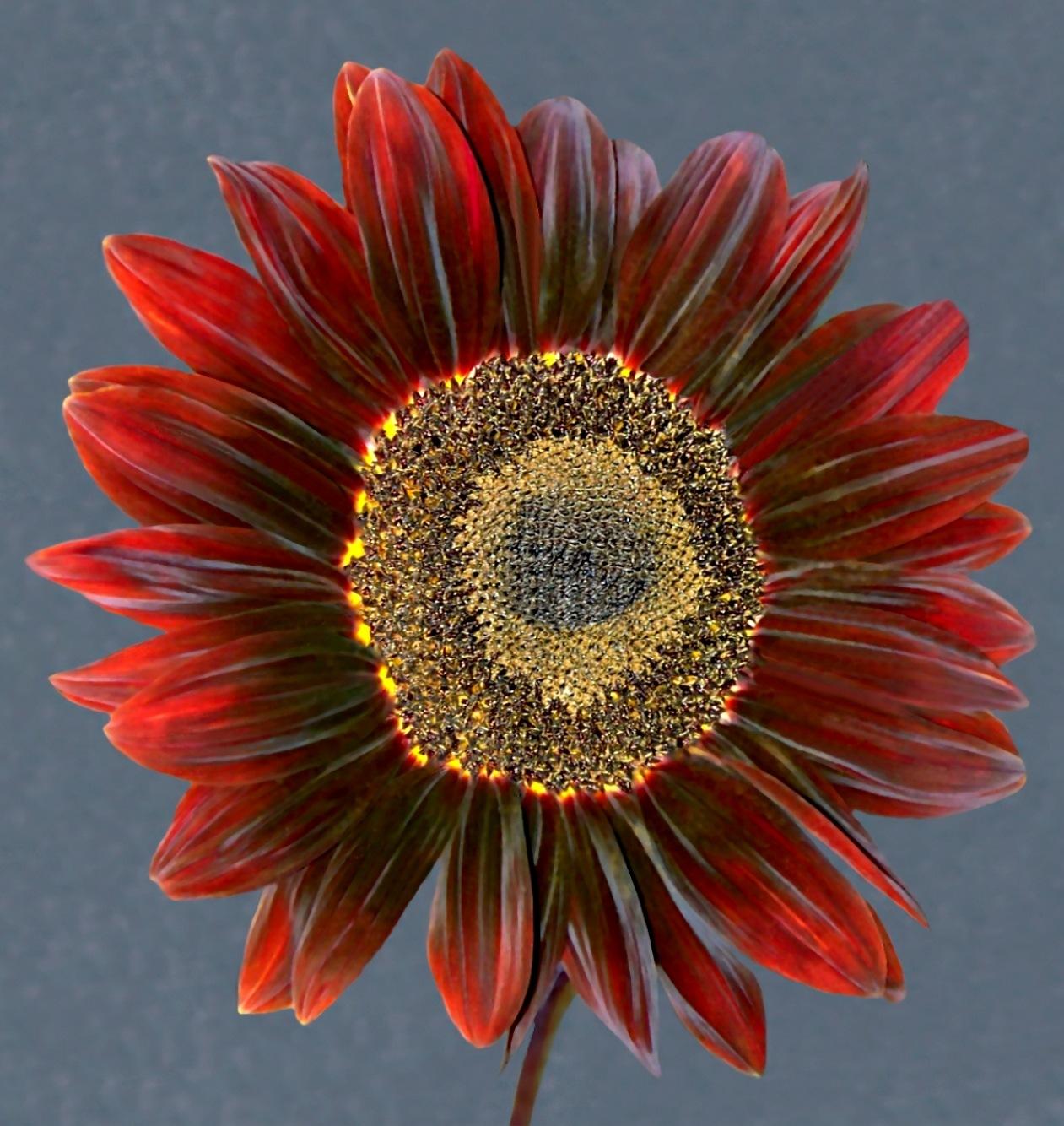 Sensational Sunflower 7 by RMCROC
