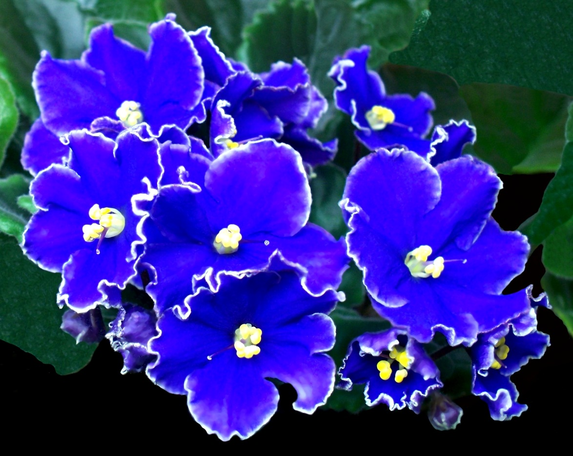 Awesome African Violets 8 by RMCROC