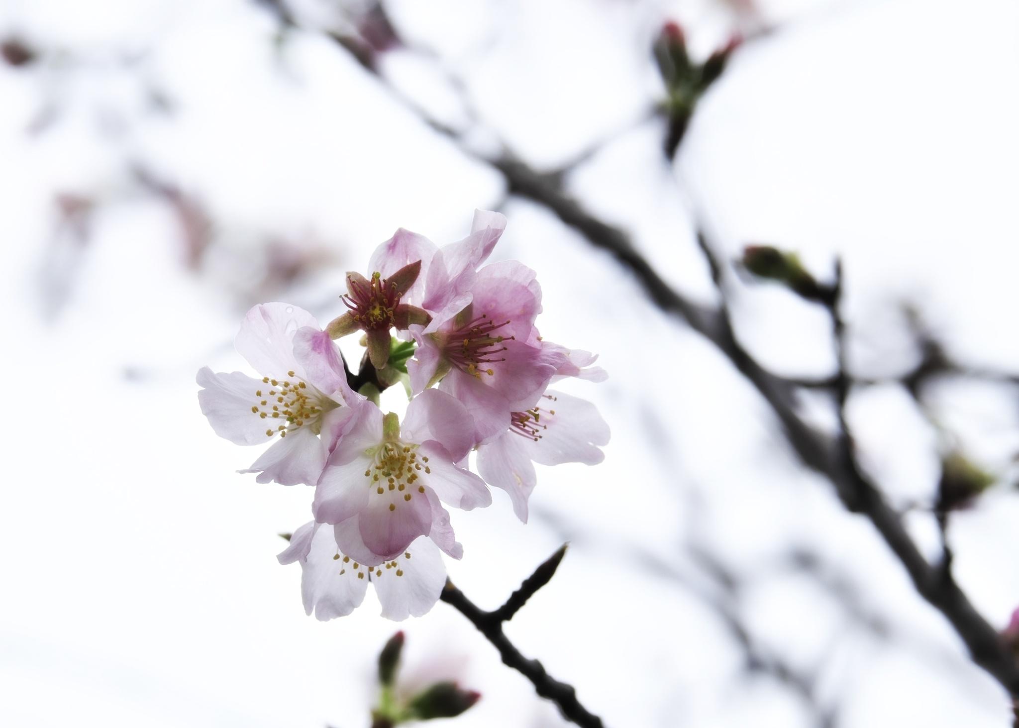 Cherry by WEN KO HUANG