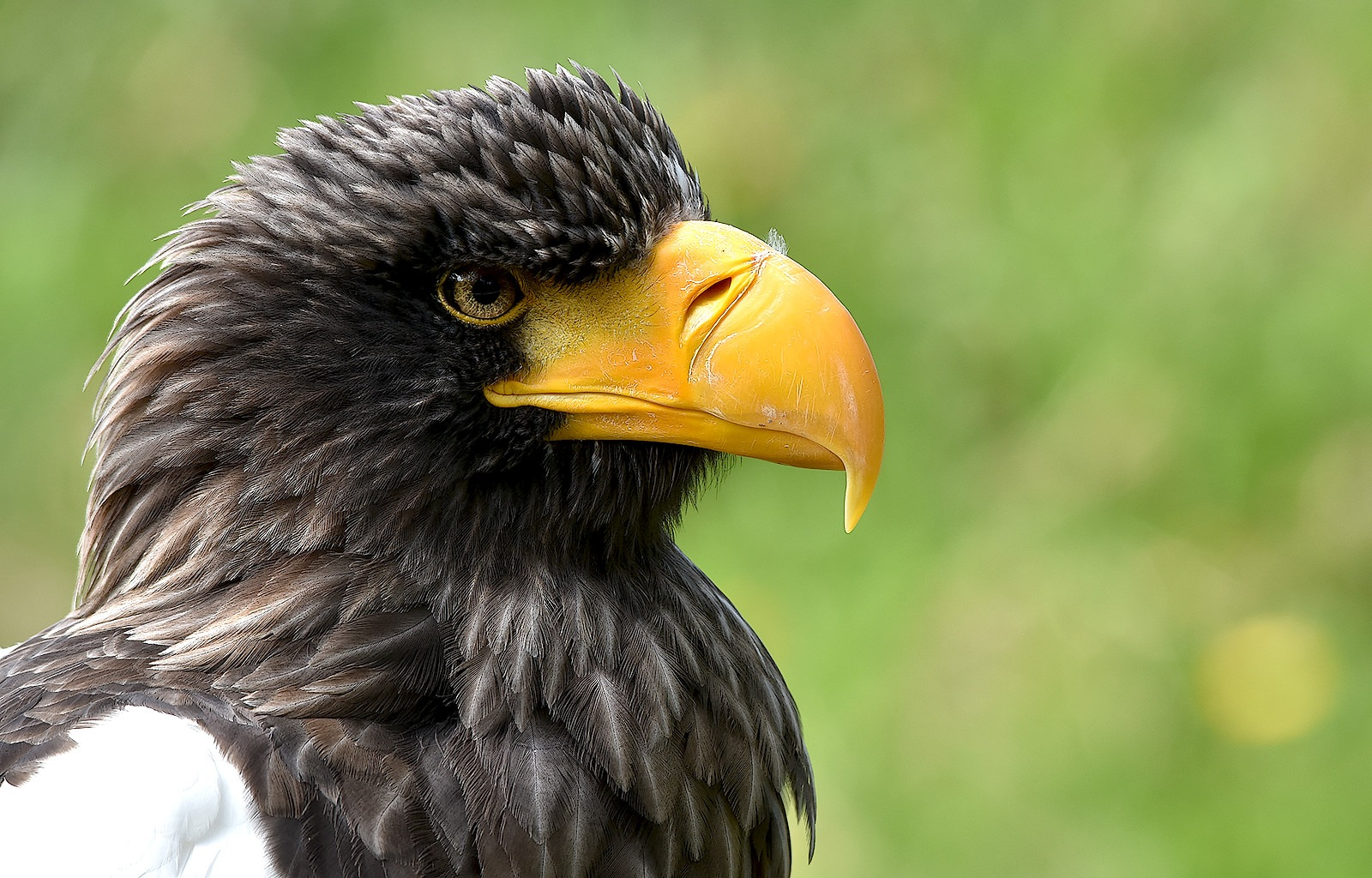 Steller's sea eagle by Asterix93