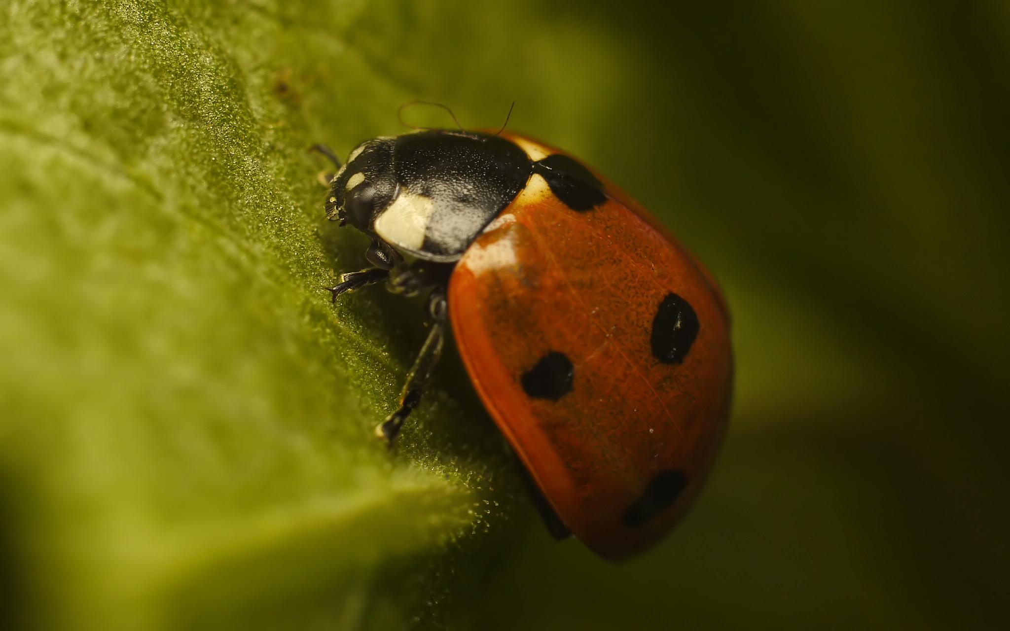 Lady bug by Asterix93