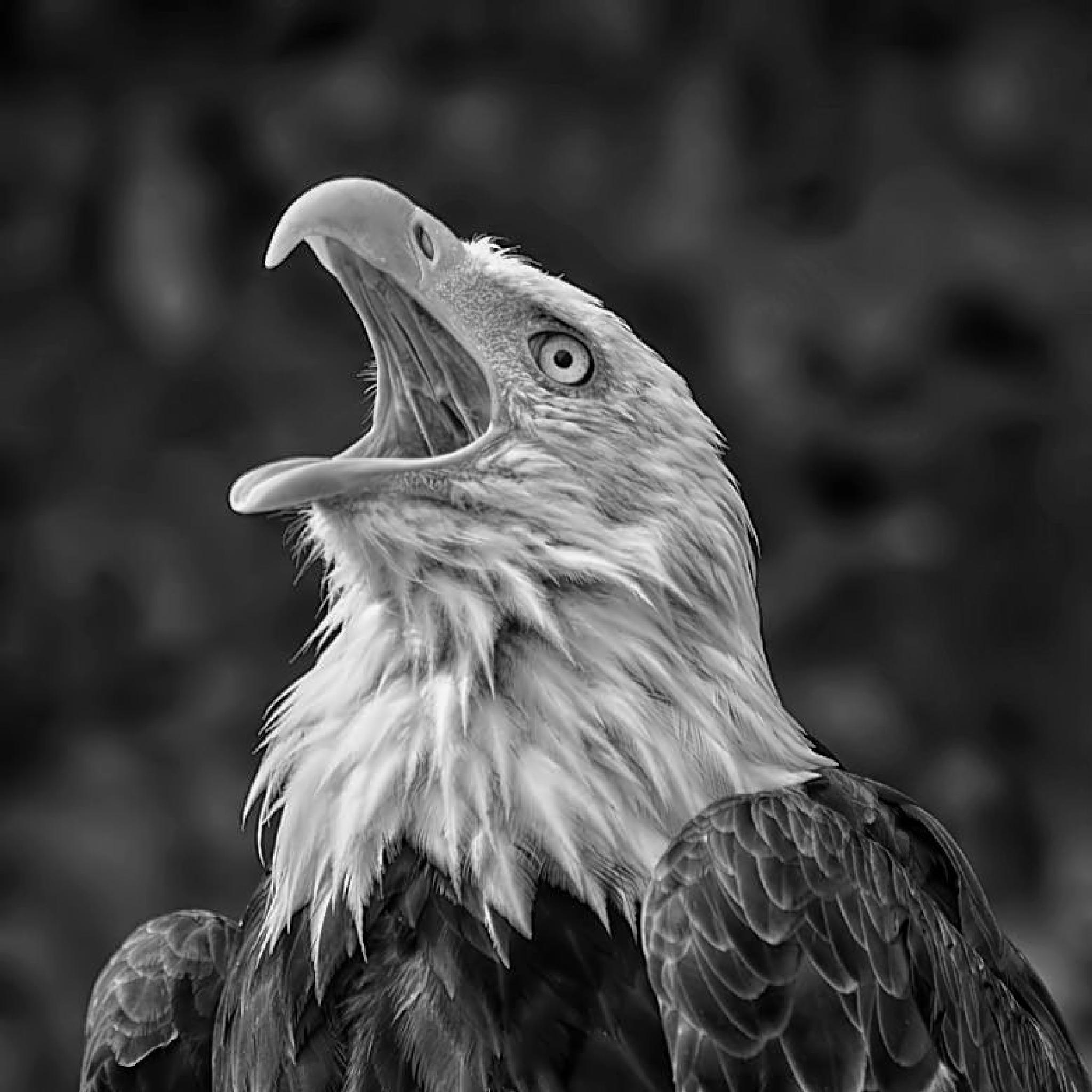 Photo in Animal #bald #eagle #raptor #portrait #bird #black #white #nikon #d7000