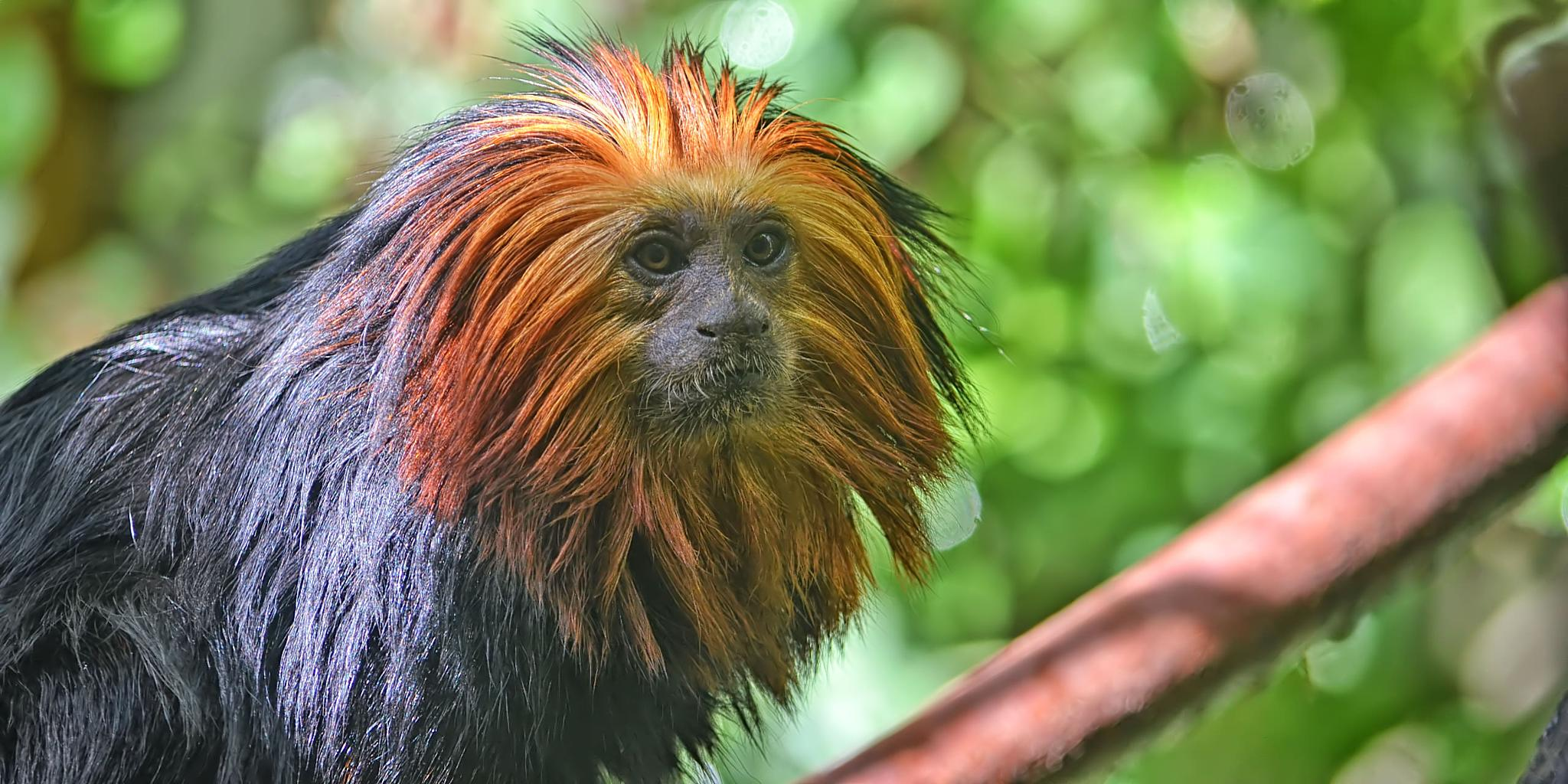 Golden-headed tamarin by Asterix93