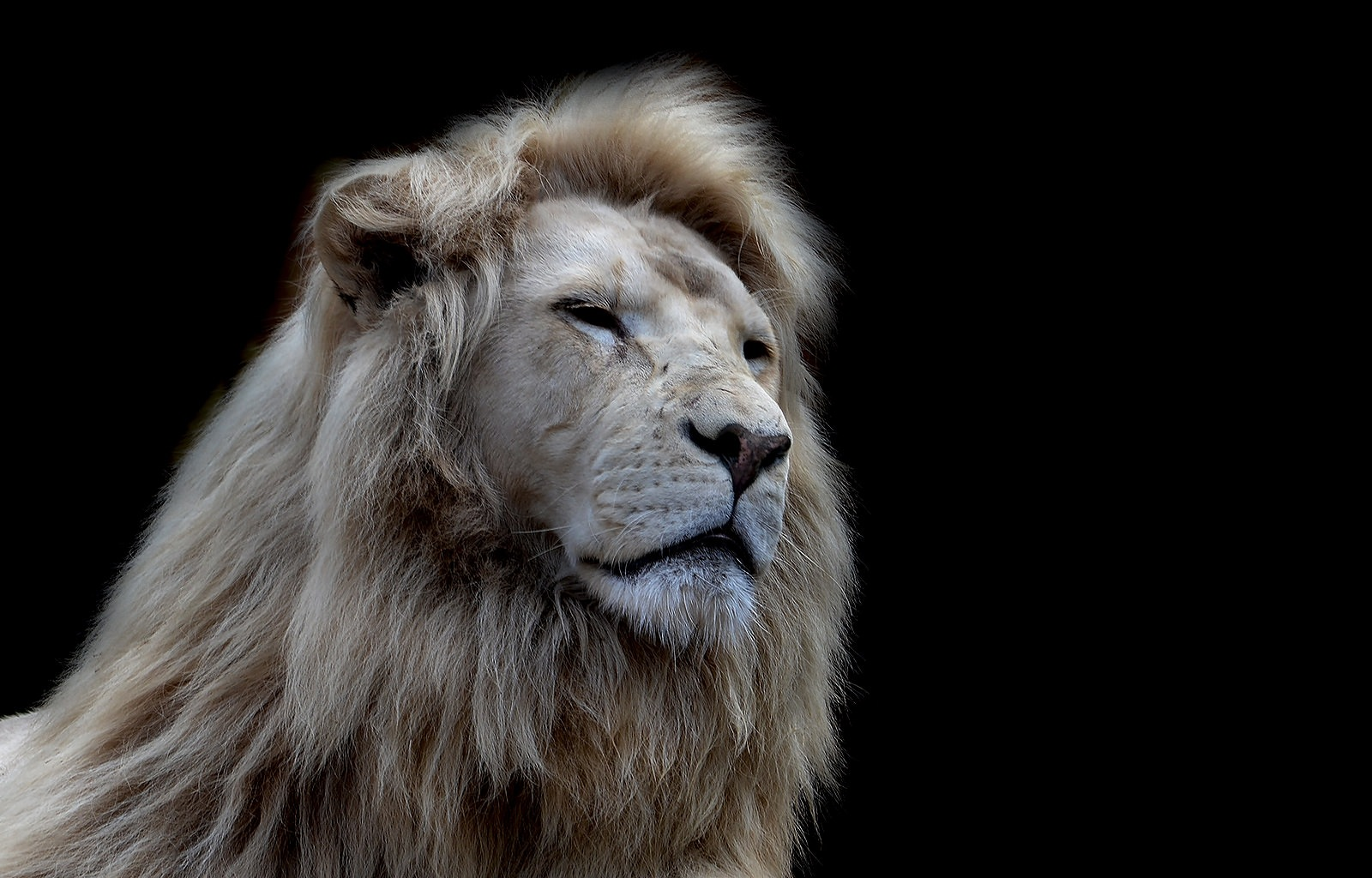 White lion - CLK by Asterix93