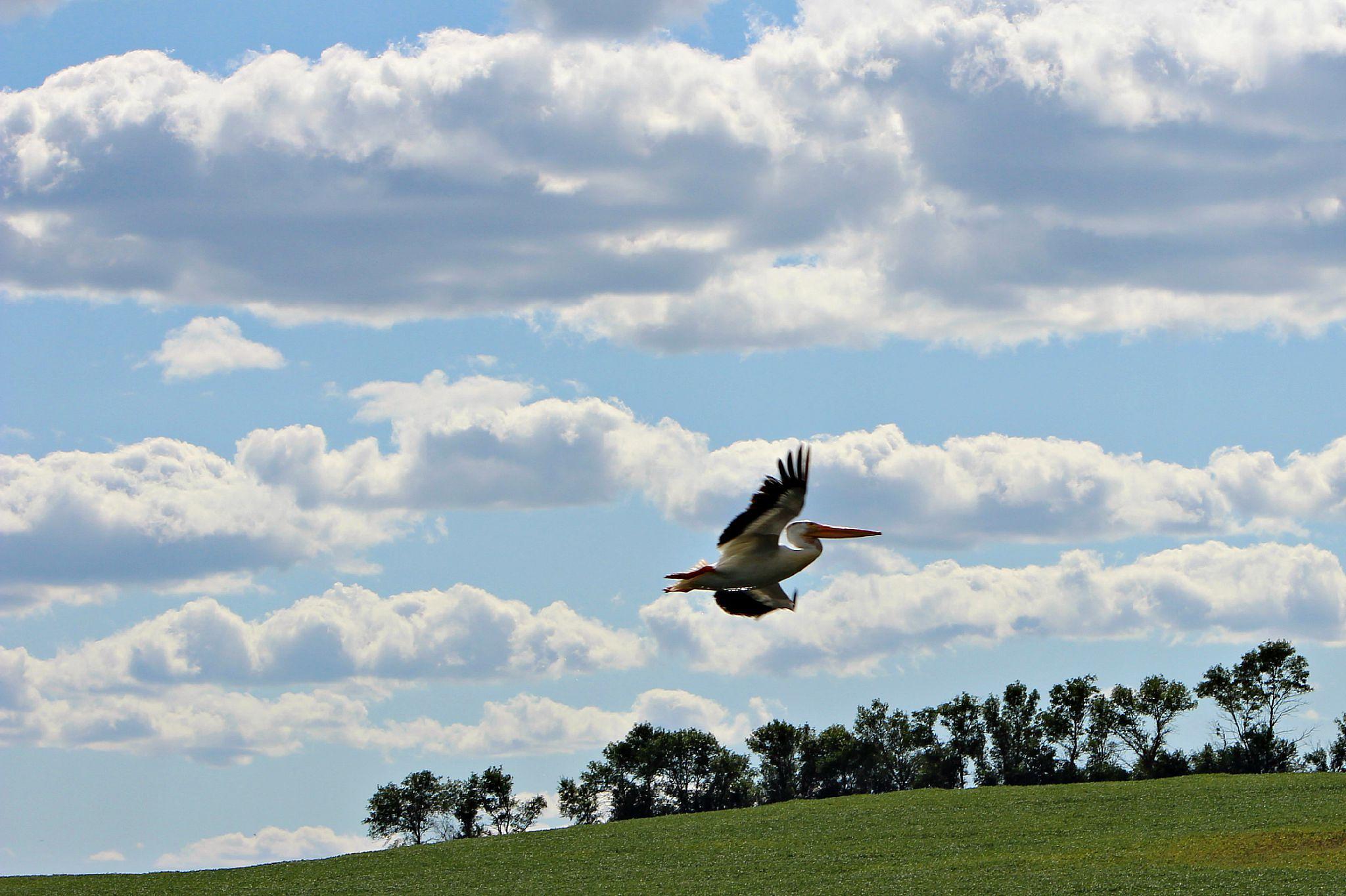 Flock of Pelicans 3 by Anita Roberts Soupir