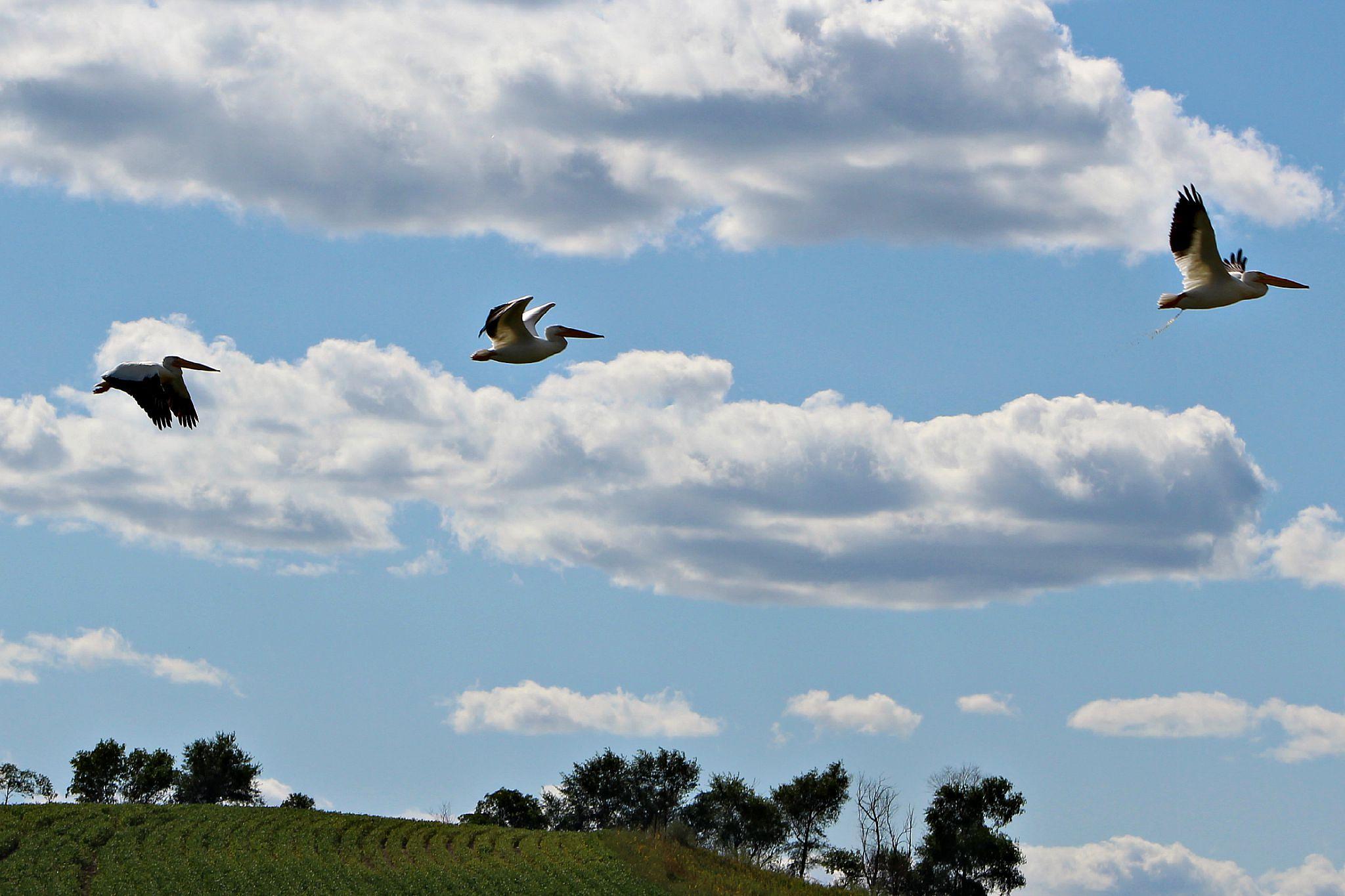 Flock of Pelicans 6 by Anita Roberts Soupir