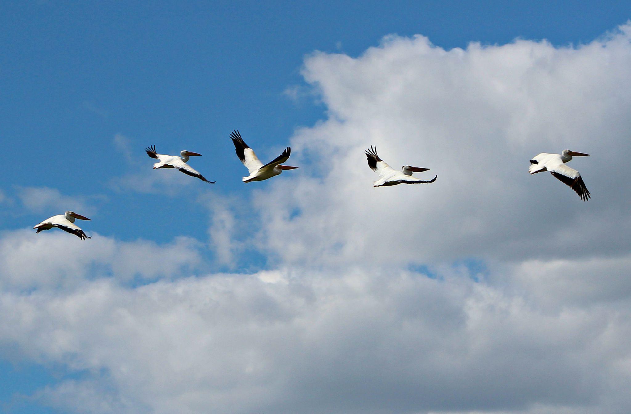 Flock of Pelicans 7 by Anita Roberts Soupir
