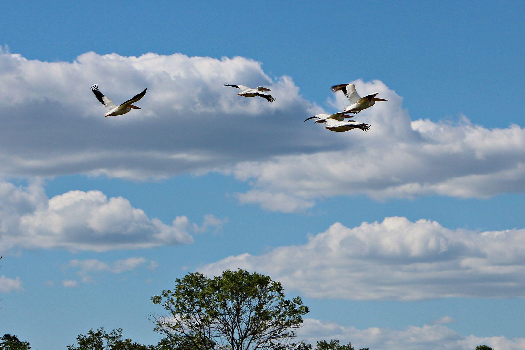 Flock of Pelicans 8 by Anita Roberts Soupir