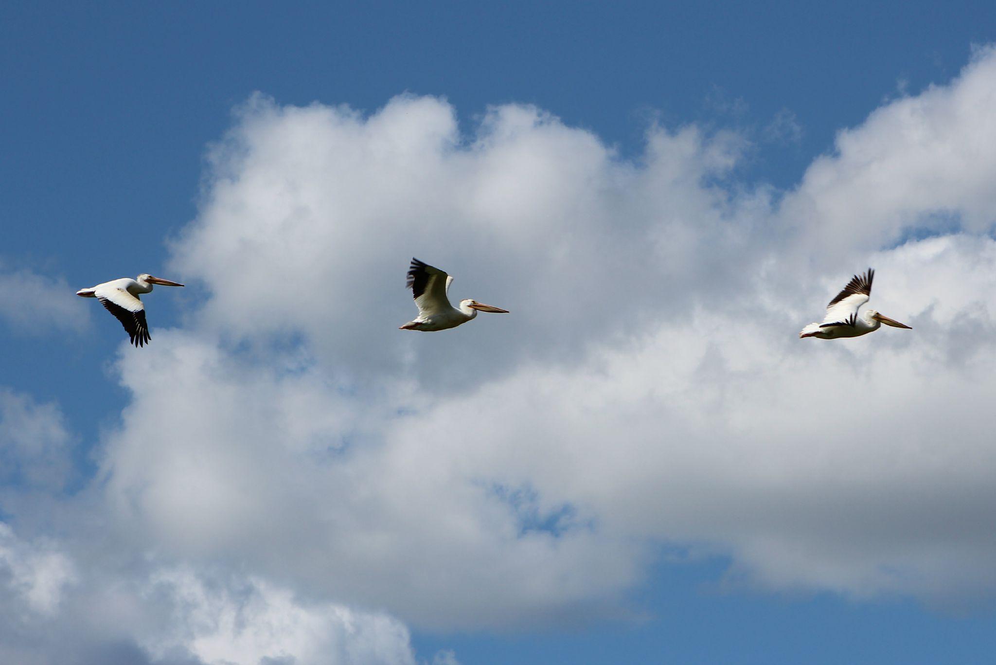 Flock of Pelicans 9 by Anita Roberts Soupir
