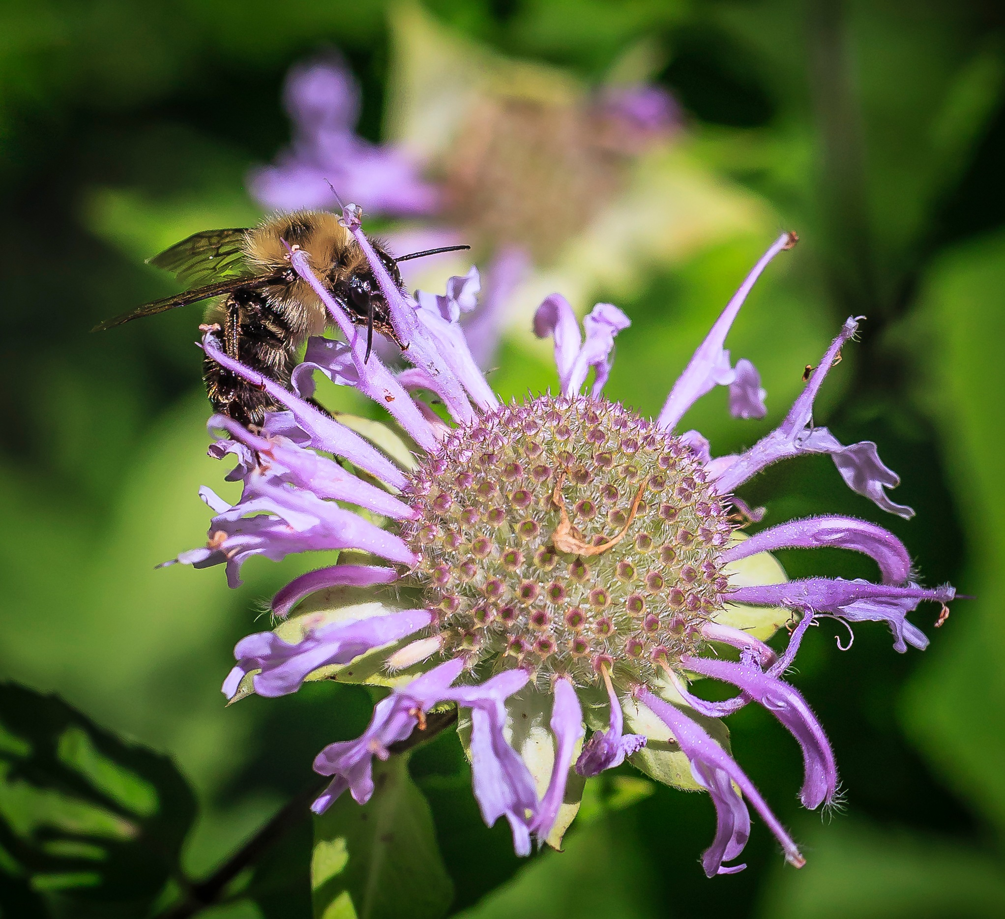 Bee & Bee Balm #2 by MaryBethMenden