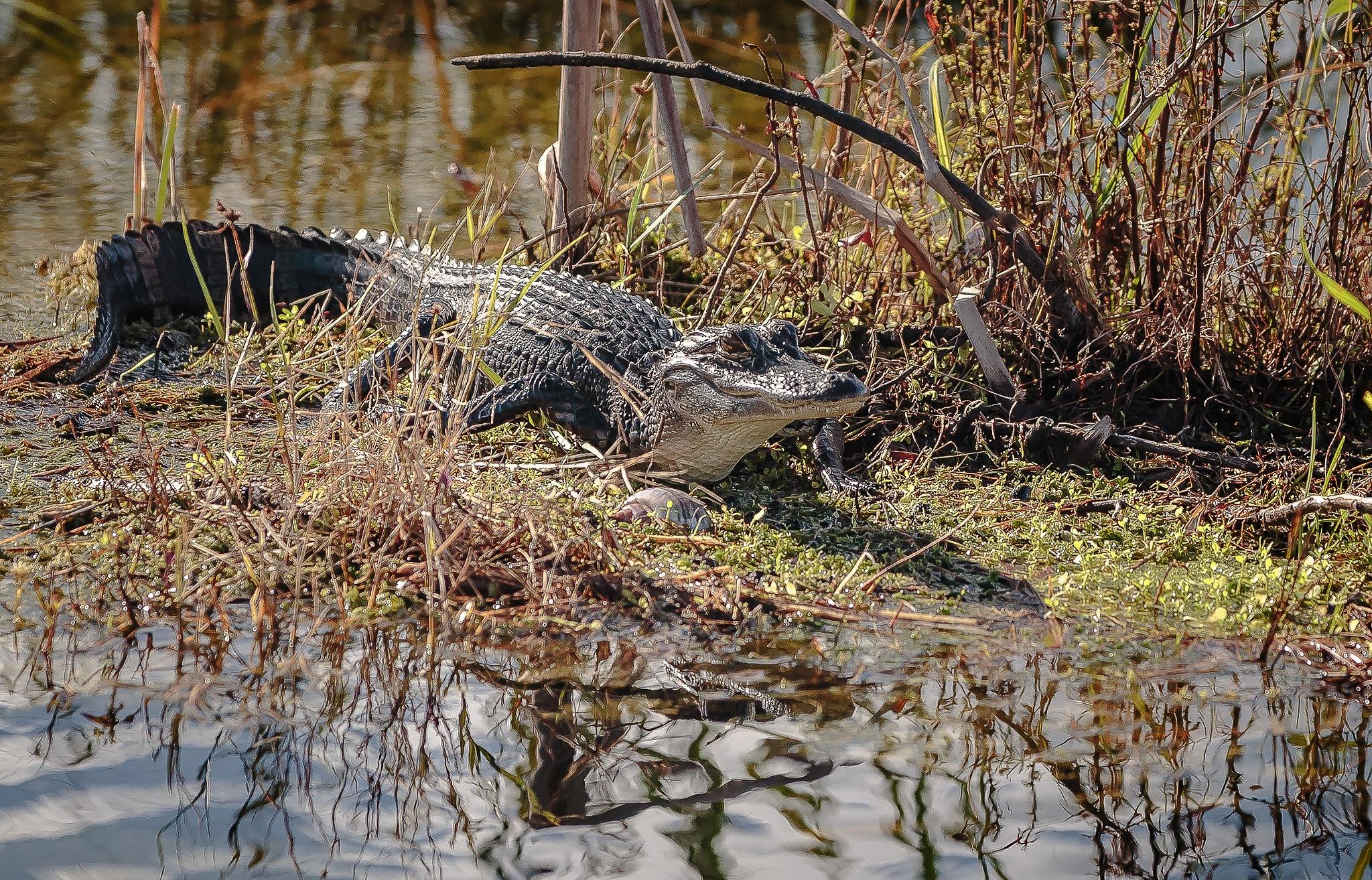 Everglades Wildlife by MaryBethMenden