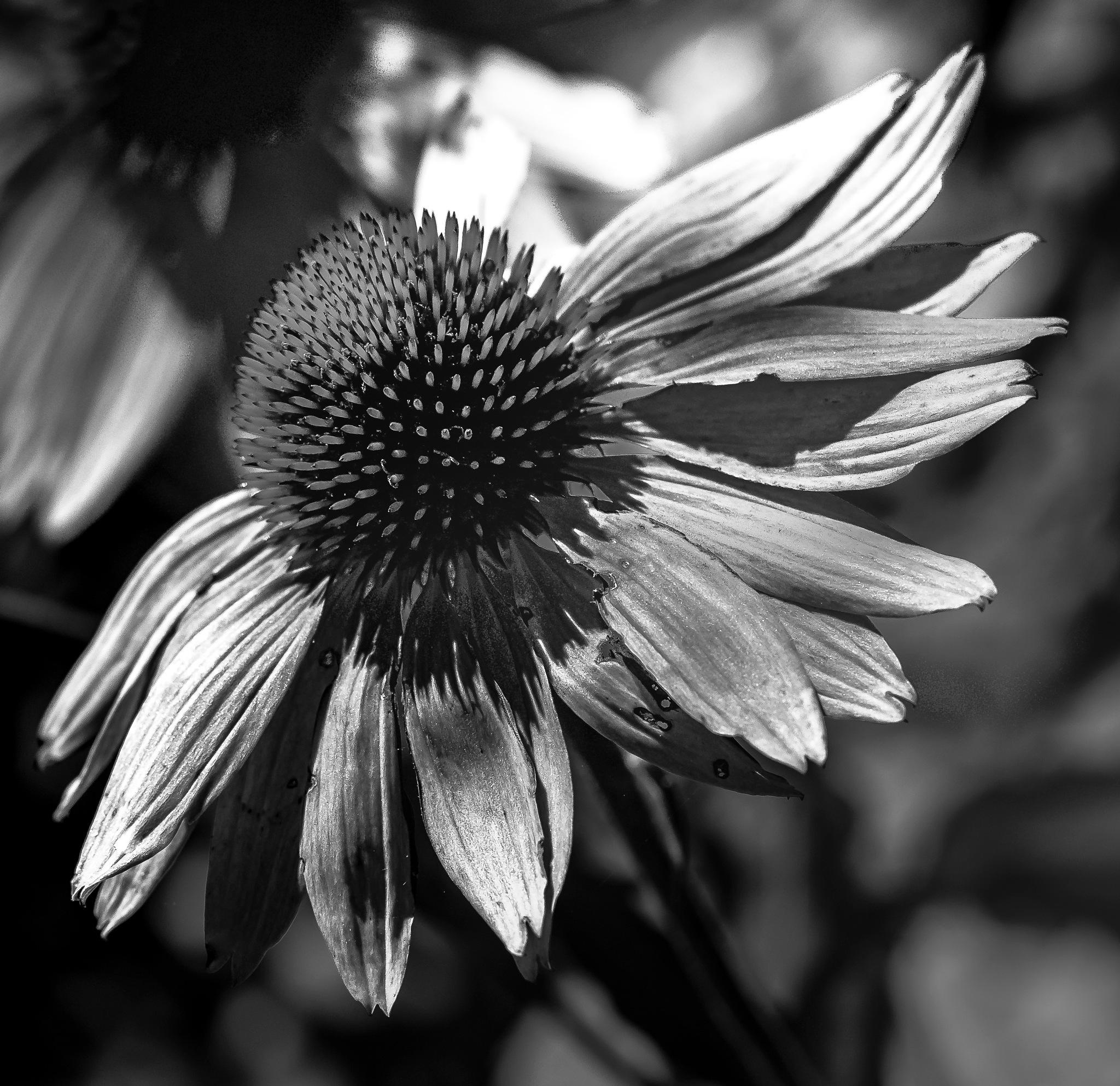 B&W Cone Flower by MaryBethMenden