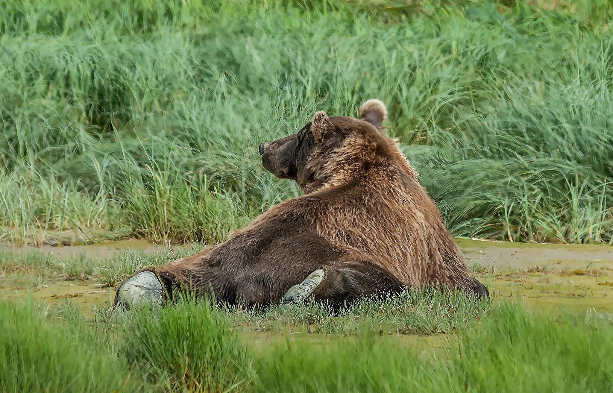 Lazy Bear by Herbert Stachelberger
