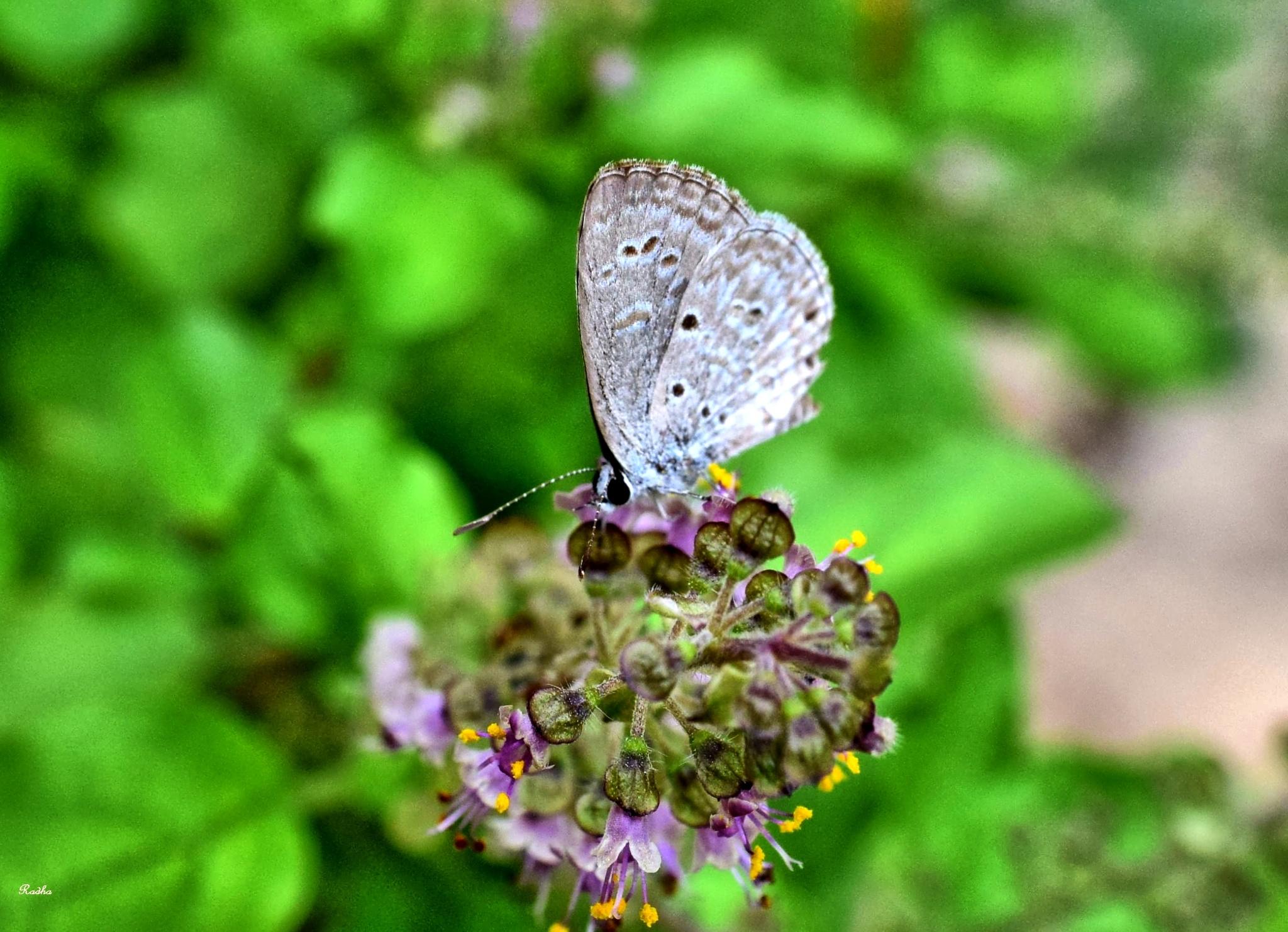 Moth on Holy Basil flower by Radhamadhavan K S