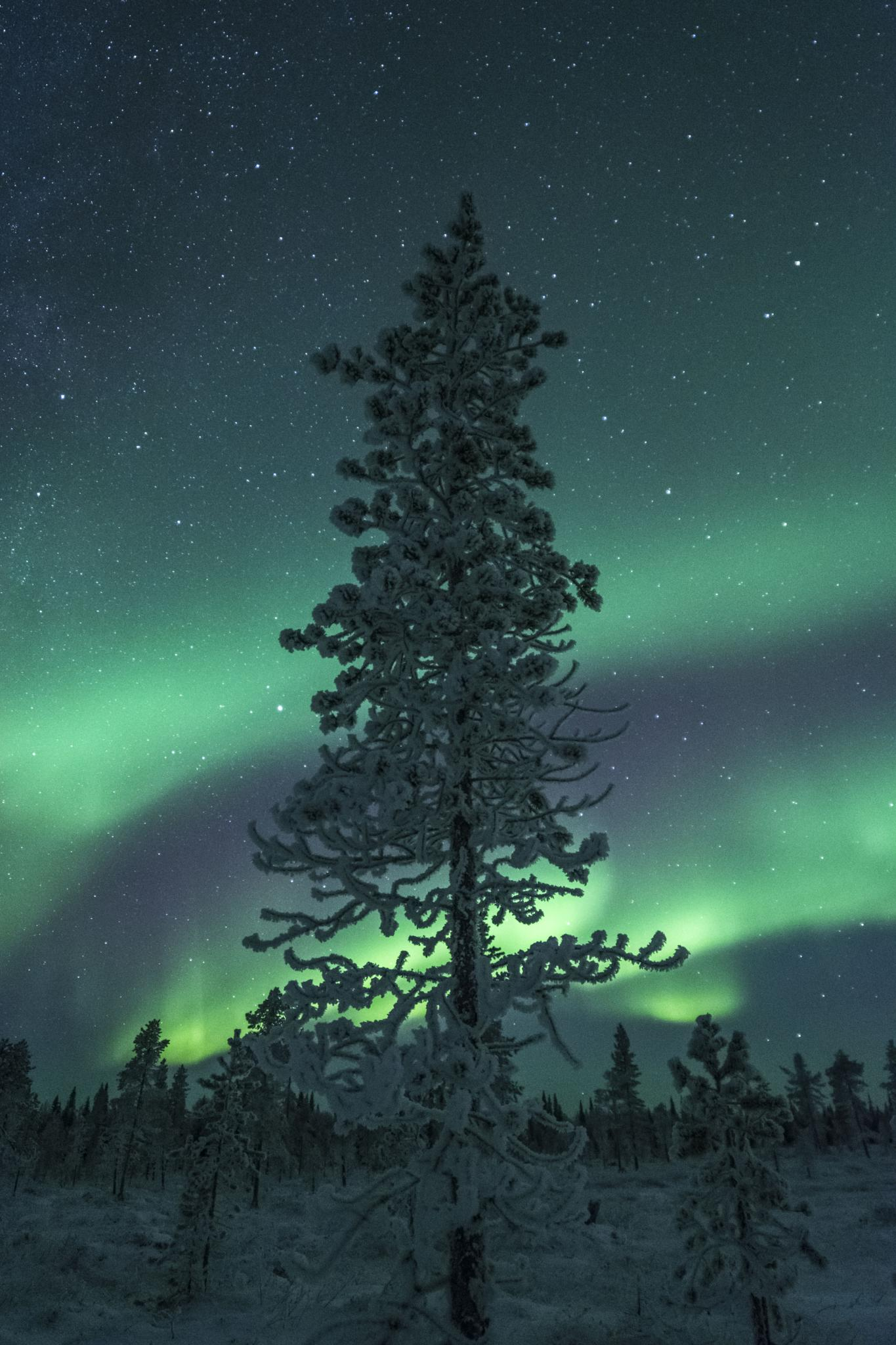 Frozen tree and Aurora by Andreas Tiensuu