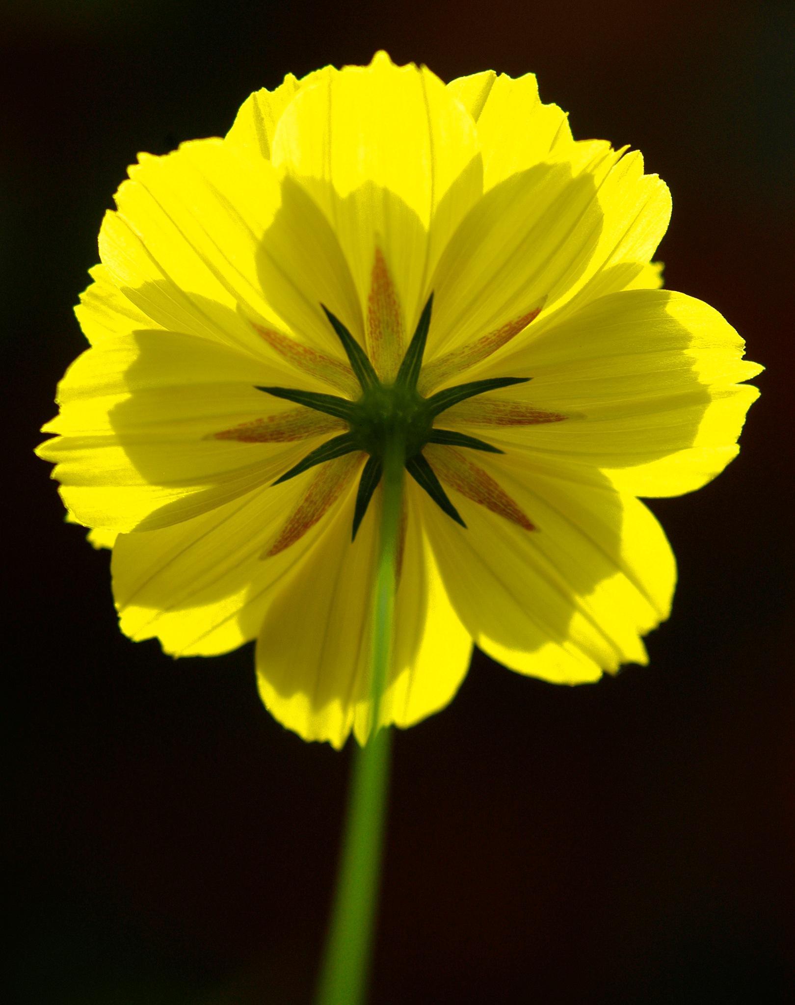 Yellow flower by sajan k s