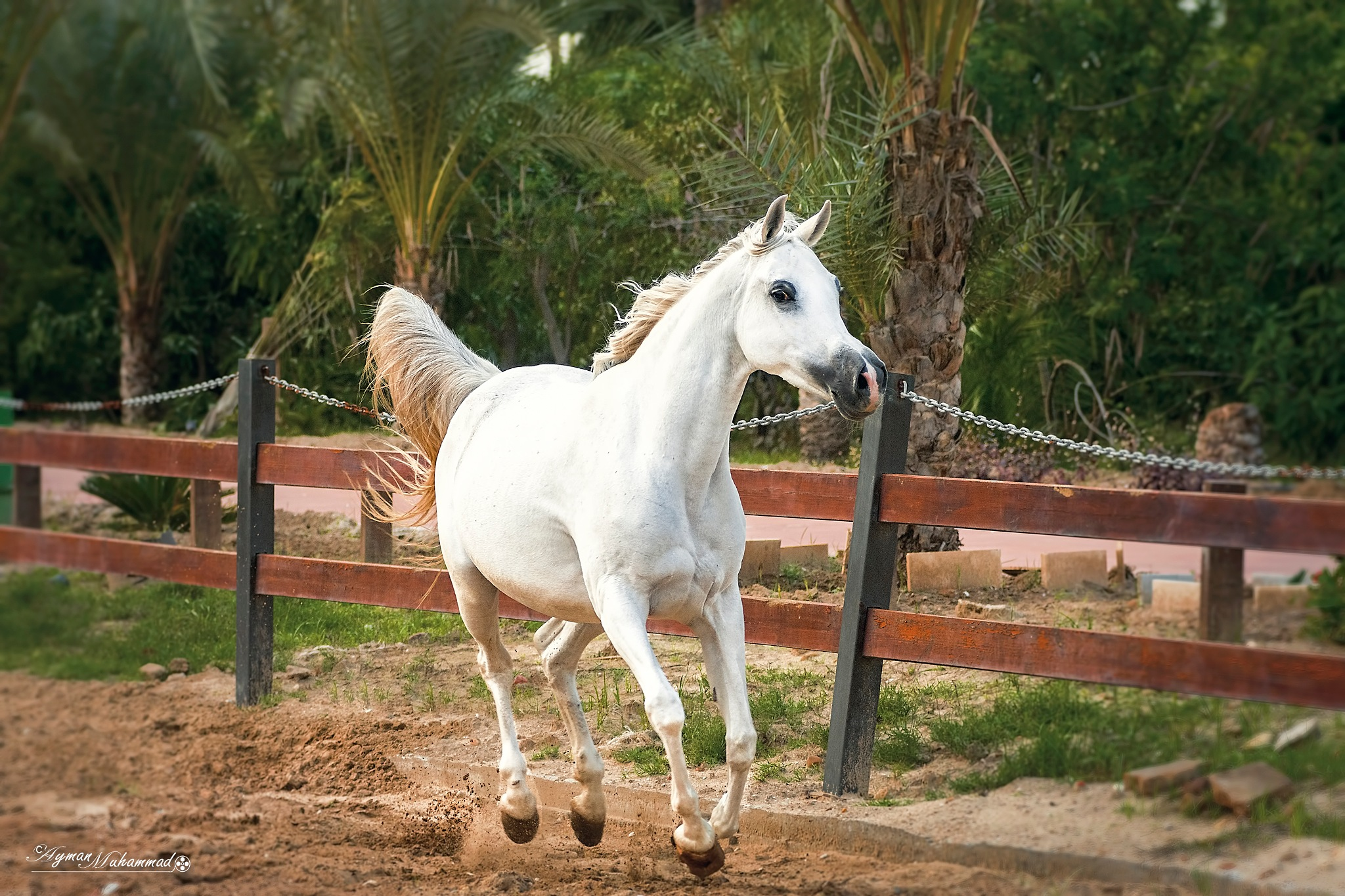 Photo in Animal #art #nikon #running #fence #habit #riding #hay #ranch #pasture #paddock #riding boot #riding hat #horseback riding #bridle #arabic #beauty #hair #black #looking #look #white #arabian  horse