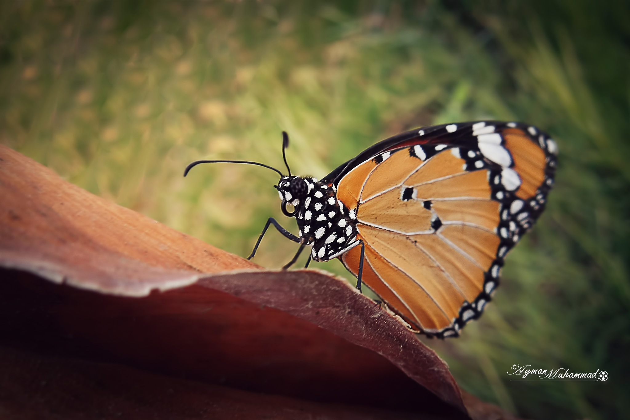 Beautiful Butterfly with bokeh +5 by AymanMuhammad