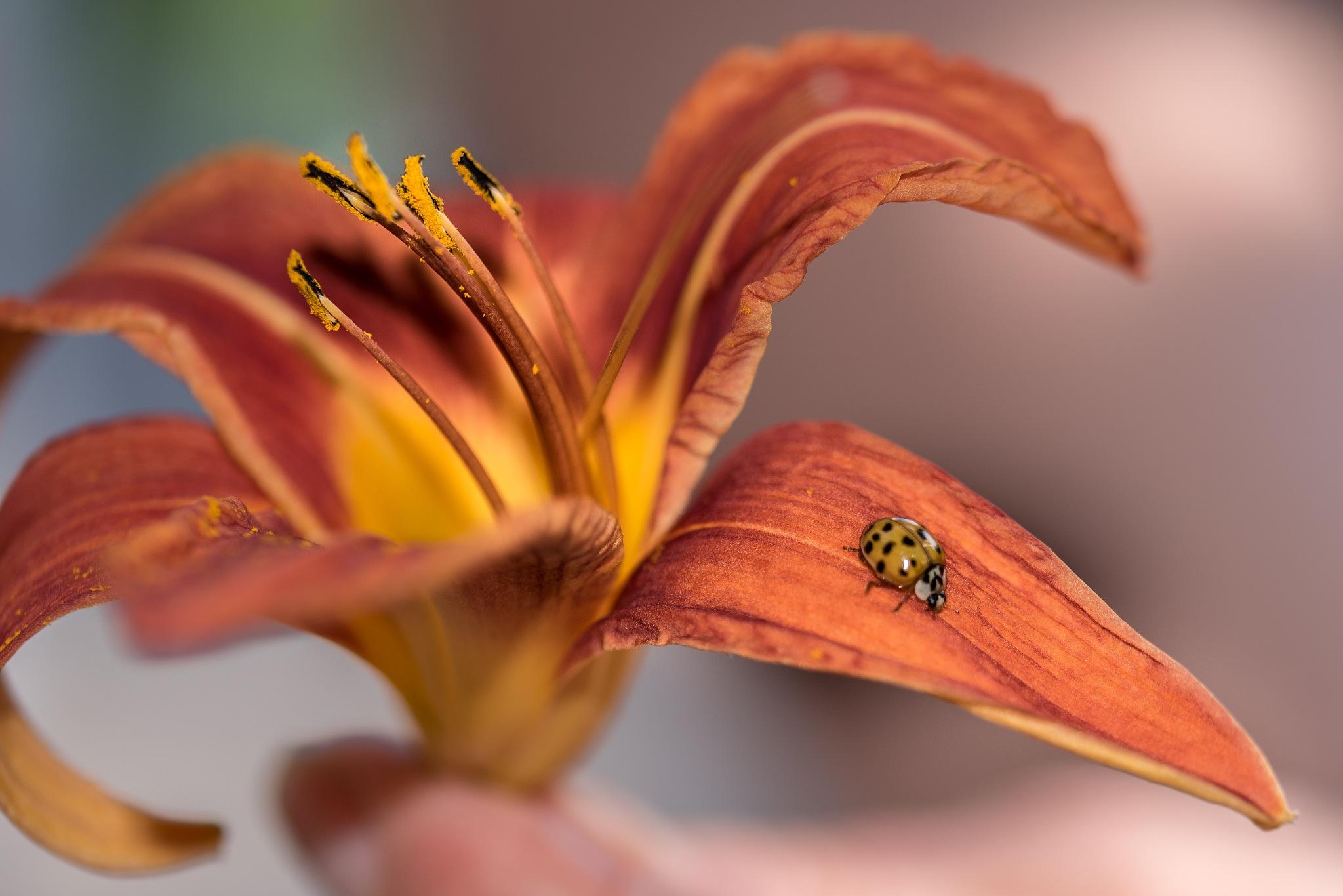 ladybug by Eseker RI