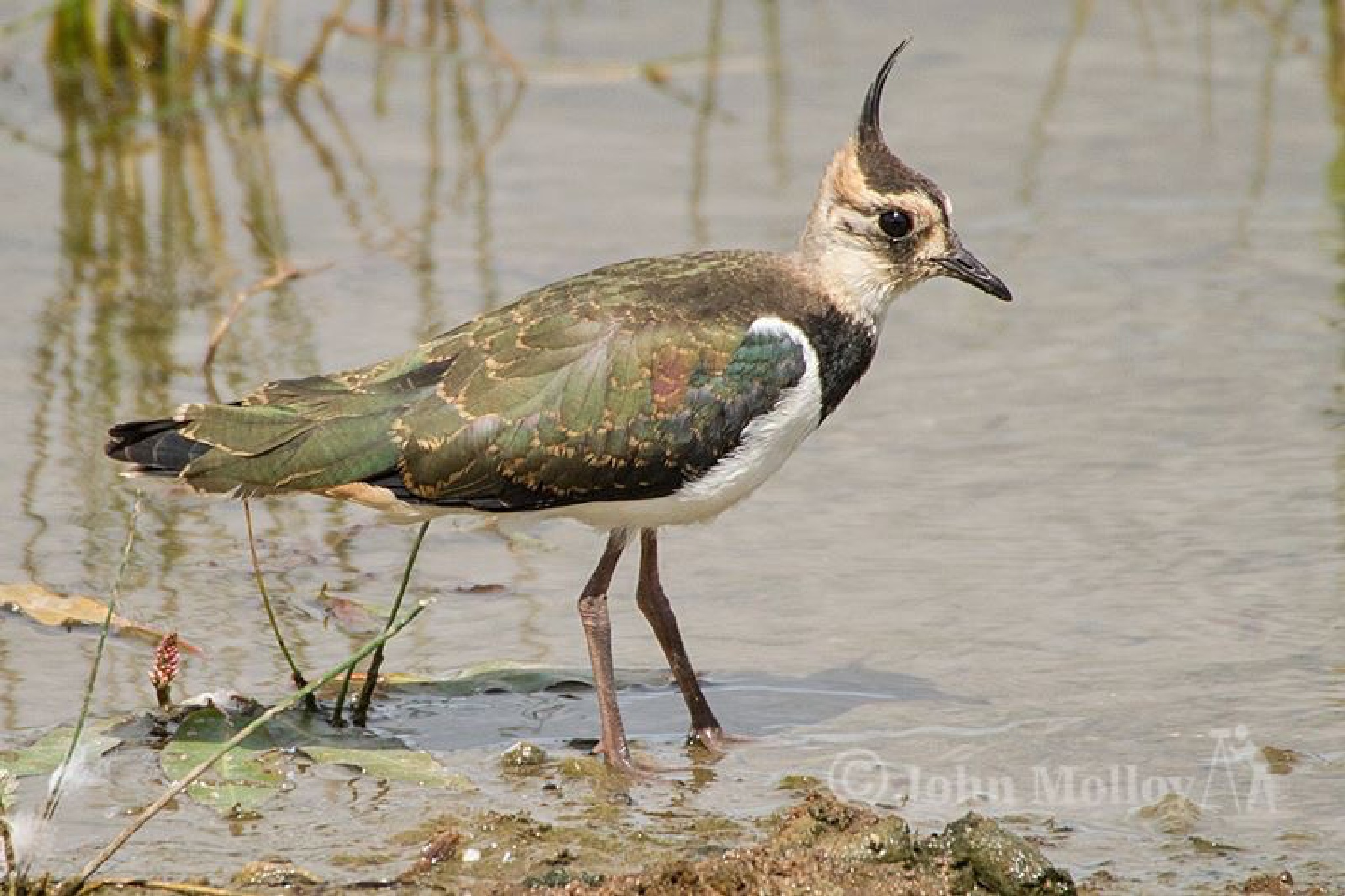 Northern Lapwing by John Molloy