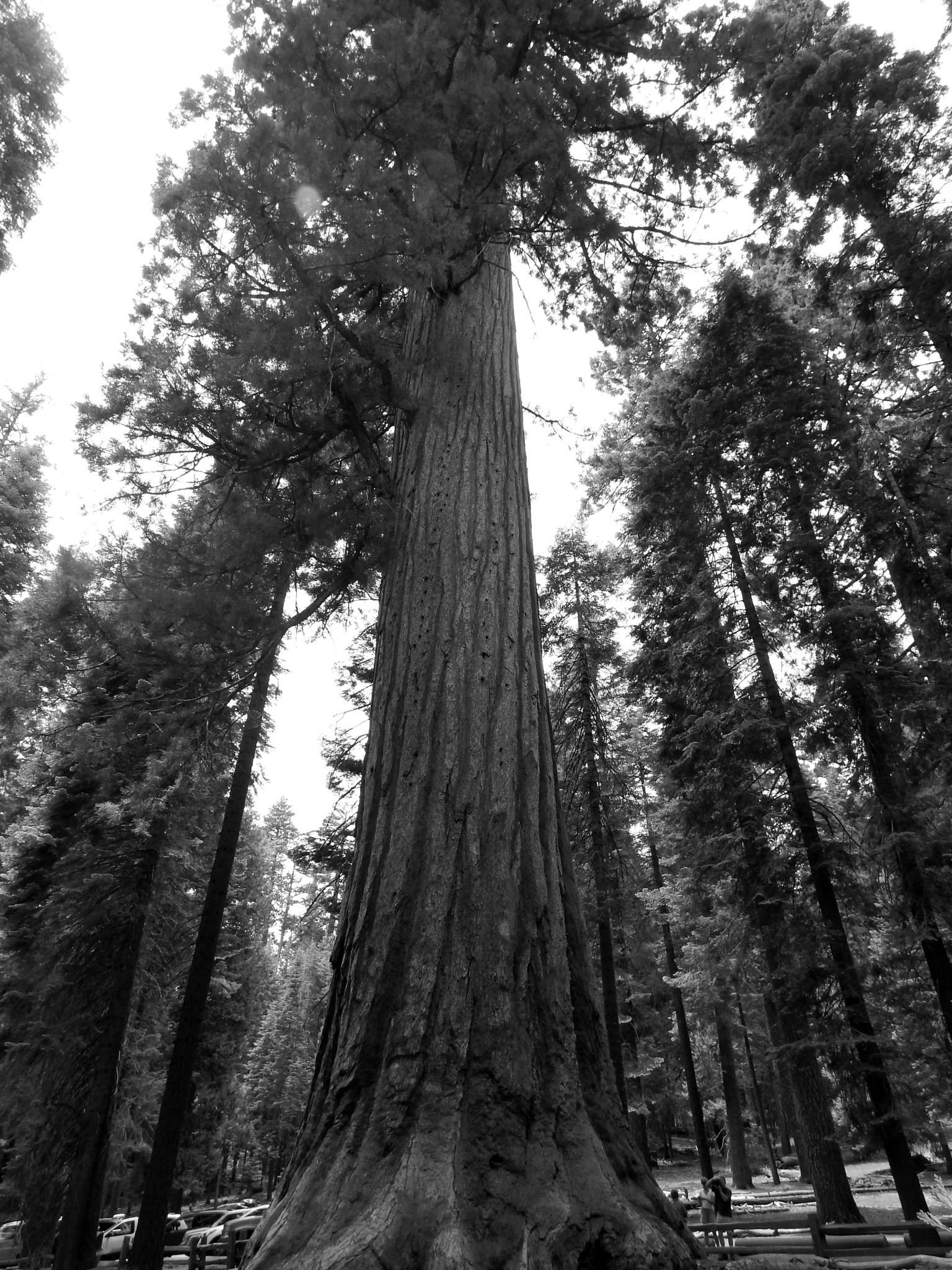 Sequoia 2 by Liv Drum