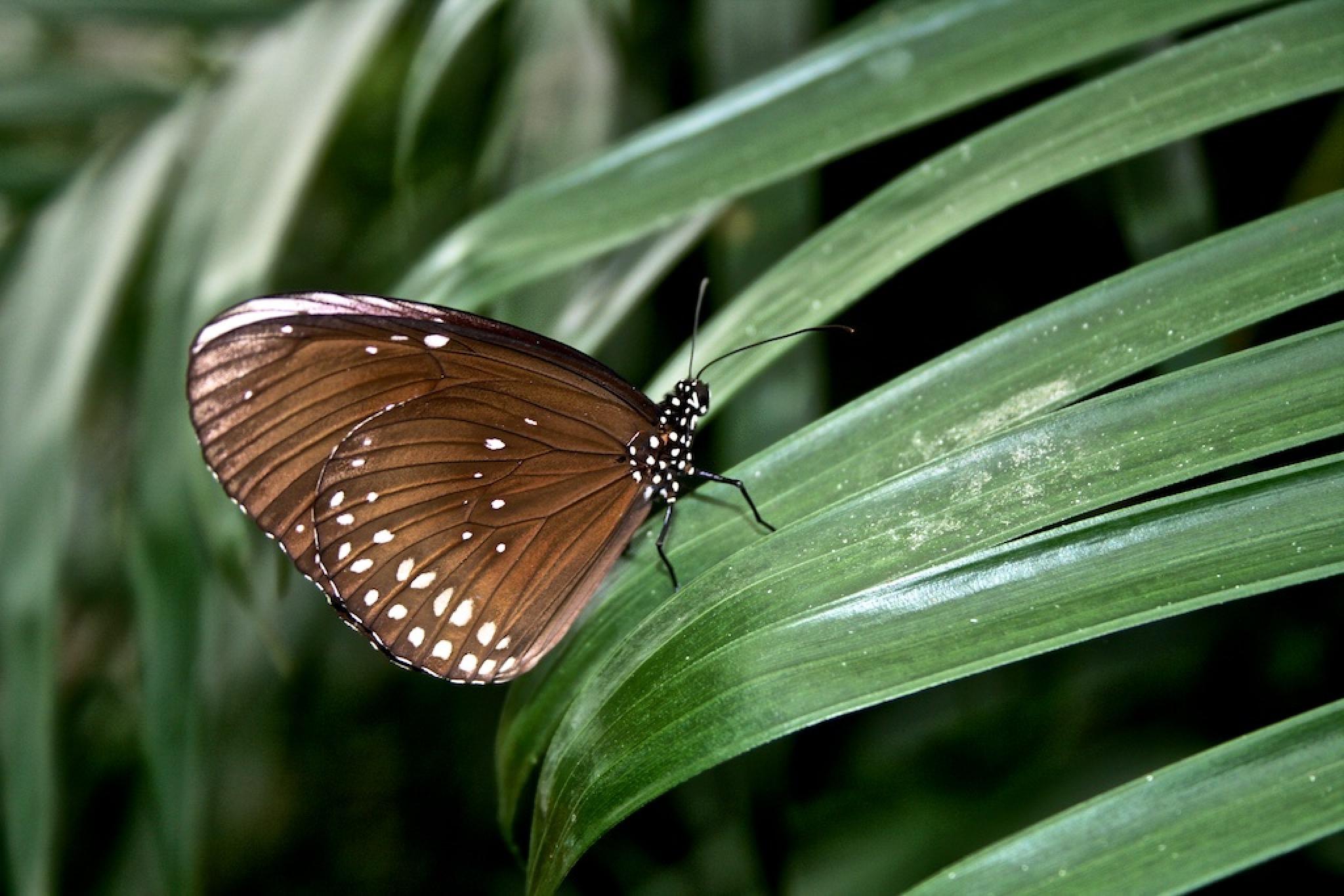 Dark Blue Tiger Butterfly by Michael Vincent Miller