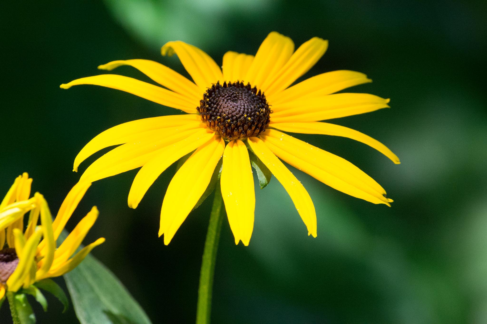 Yellow Flower by Papabob