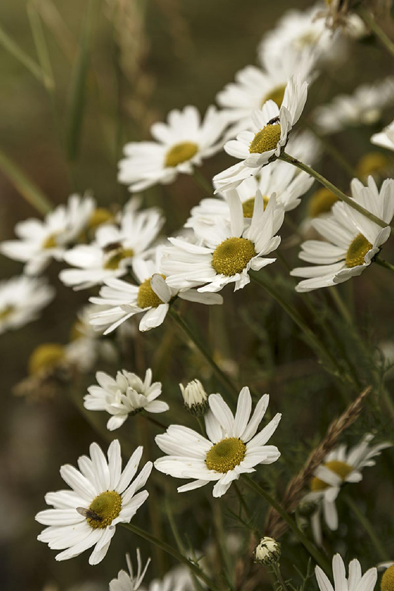 Scentless Mayweed by Jim Hamilton
