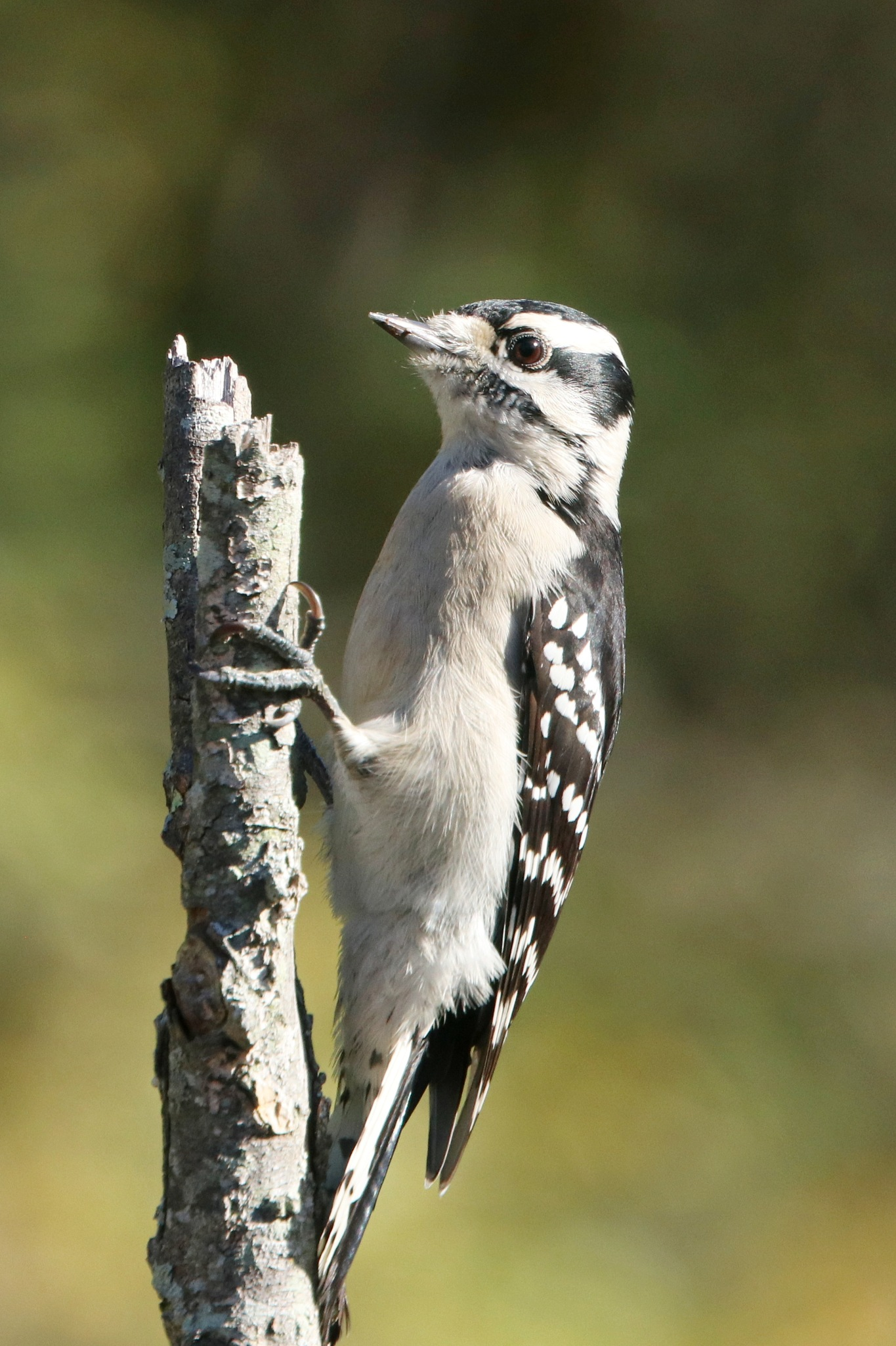 Downy Woodpecker by Gregory Kehle
