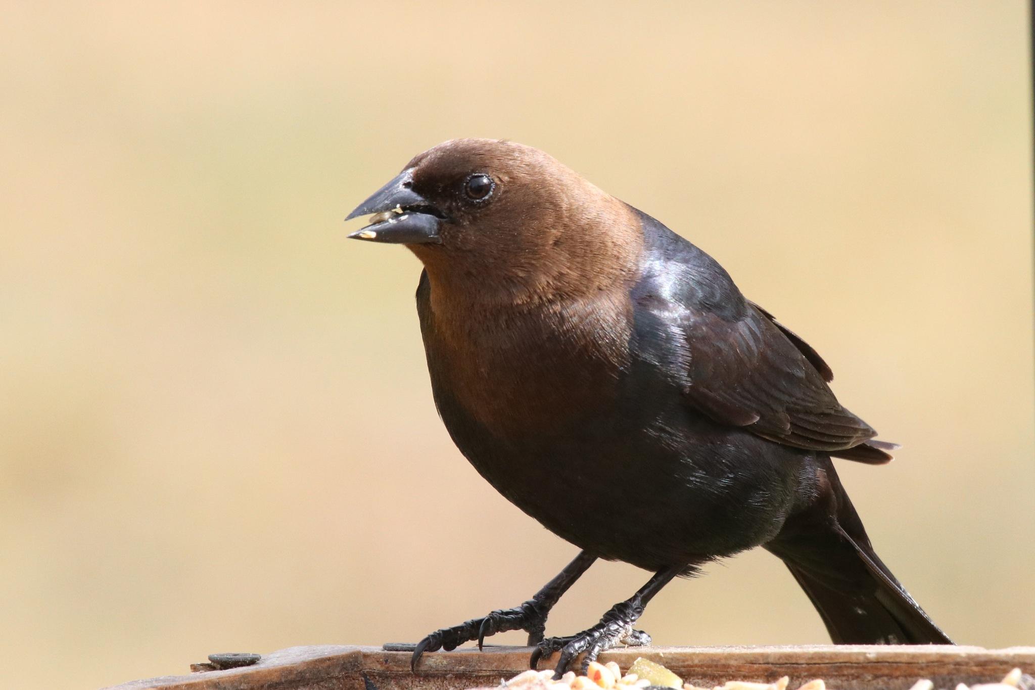 Male Brown-Headed Cowbird by Gregory Kehle