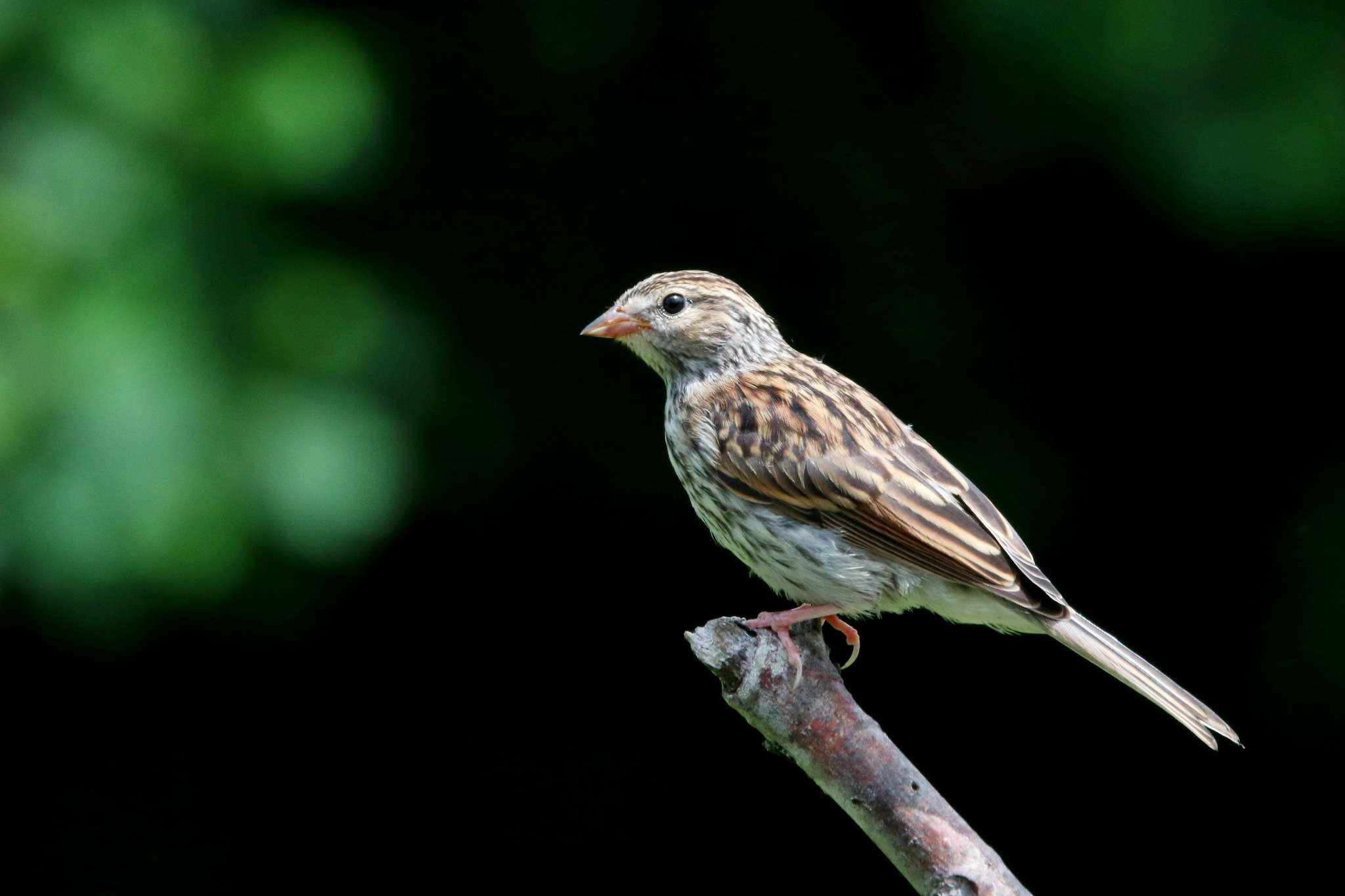Female House Finch by Gregory Kehle