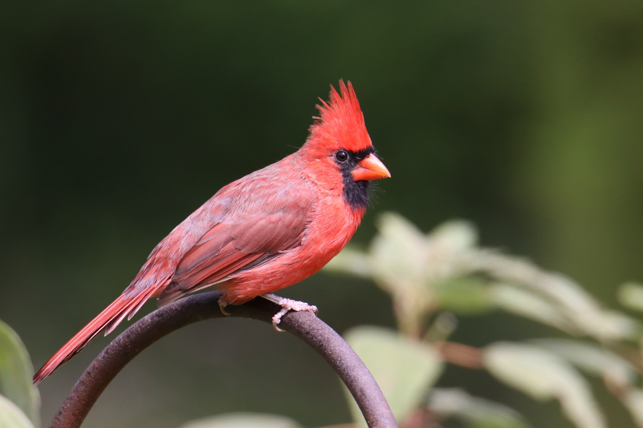 Male Cardinal by Gregory Kehle