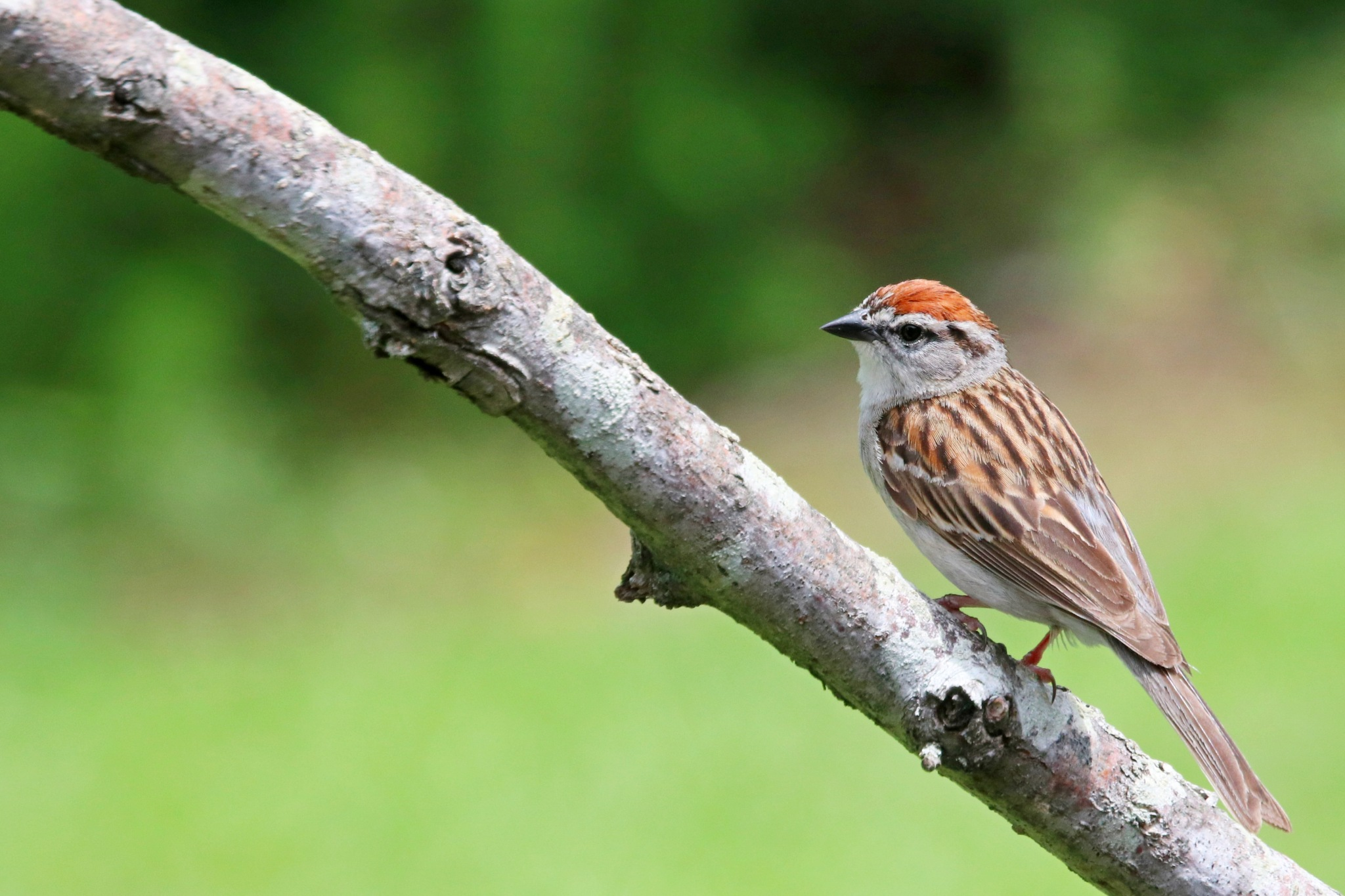 Chiping sparrow #2 by Gregory Kehle