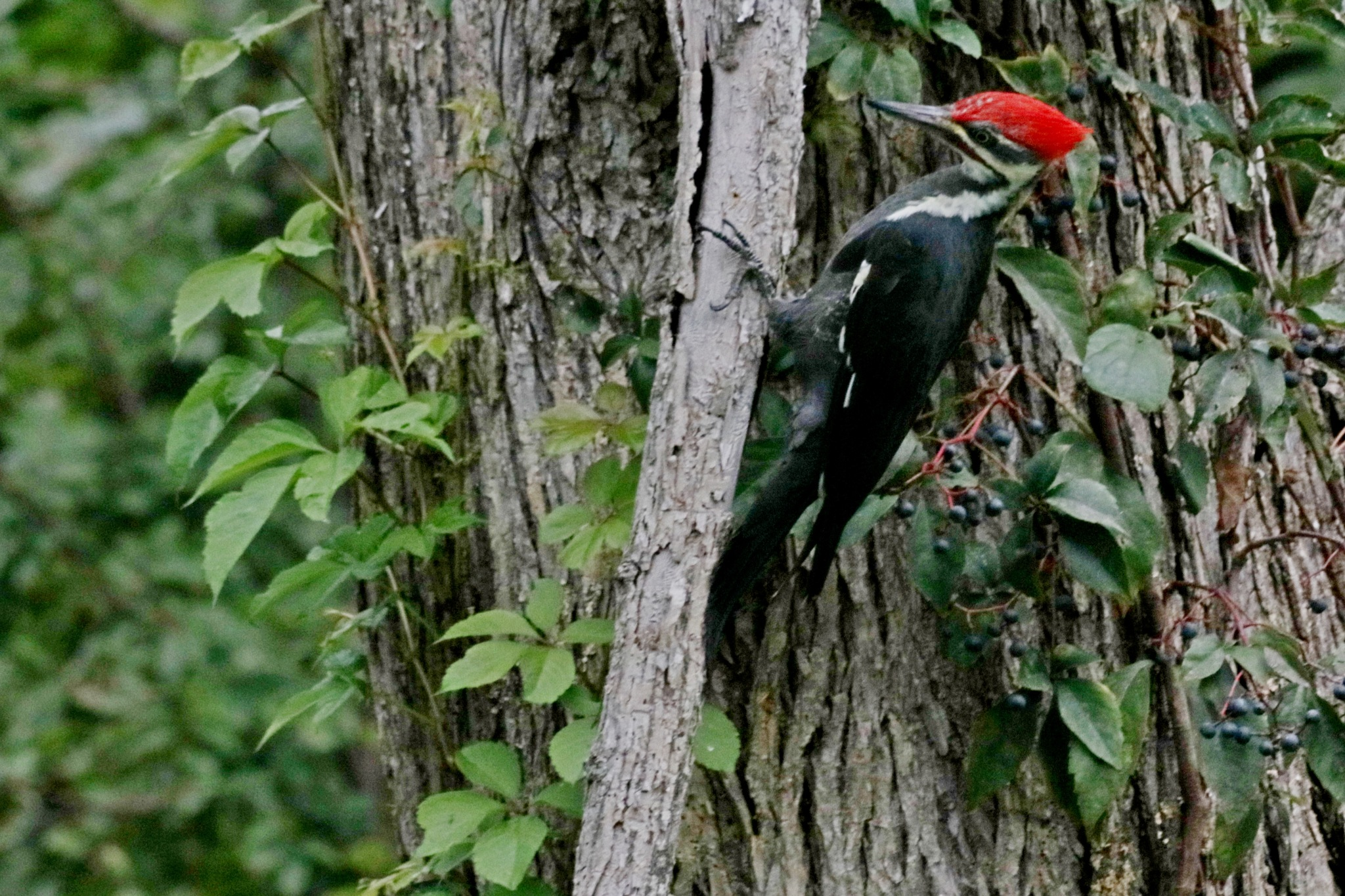 Pileaated Woodpecker #1 by Gregory Kehle