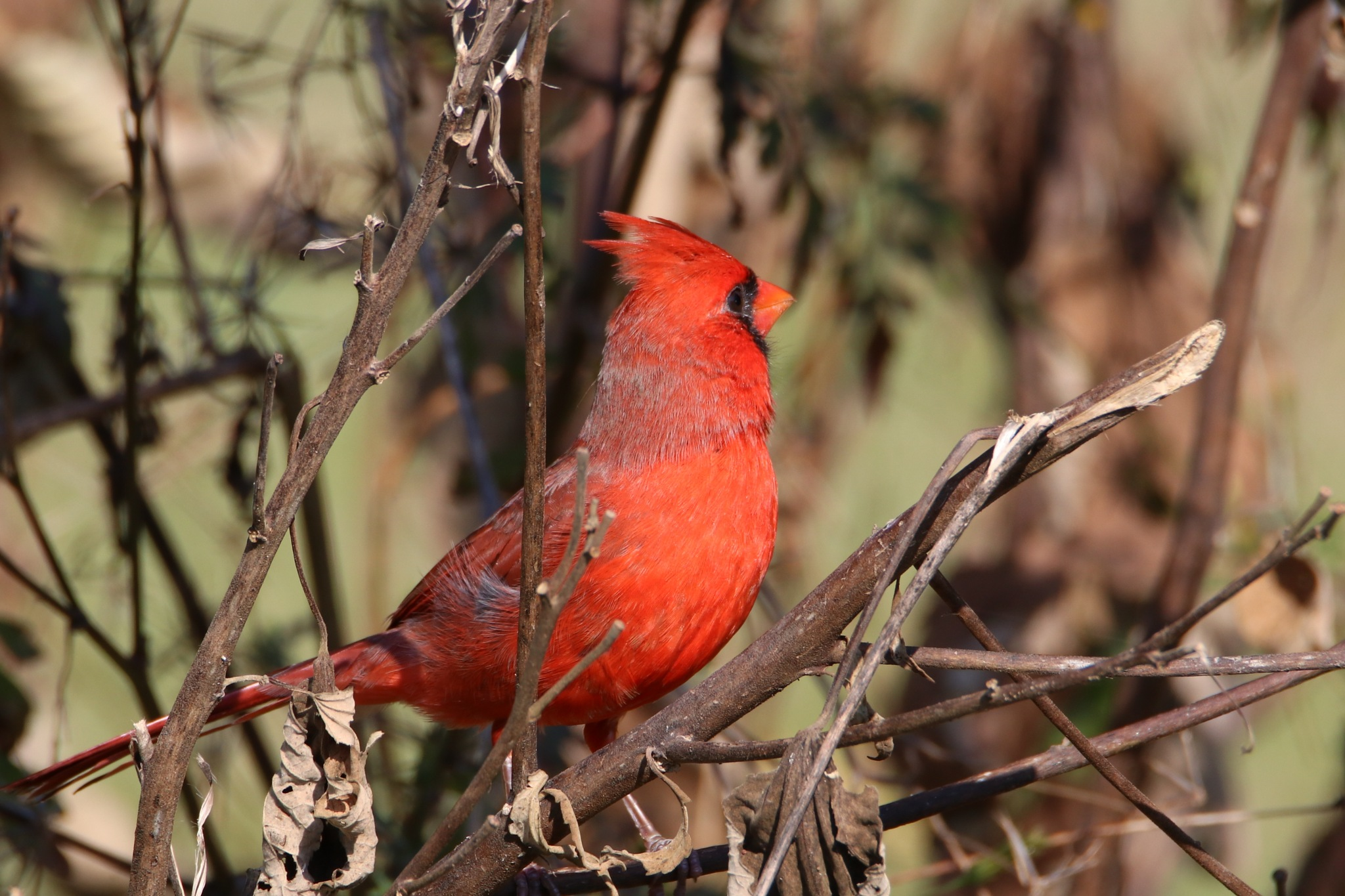 Cardinal by Gregory Kehle