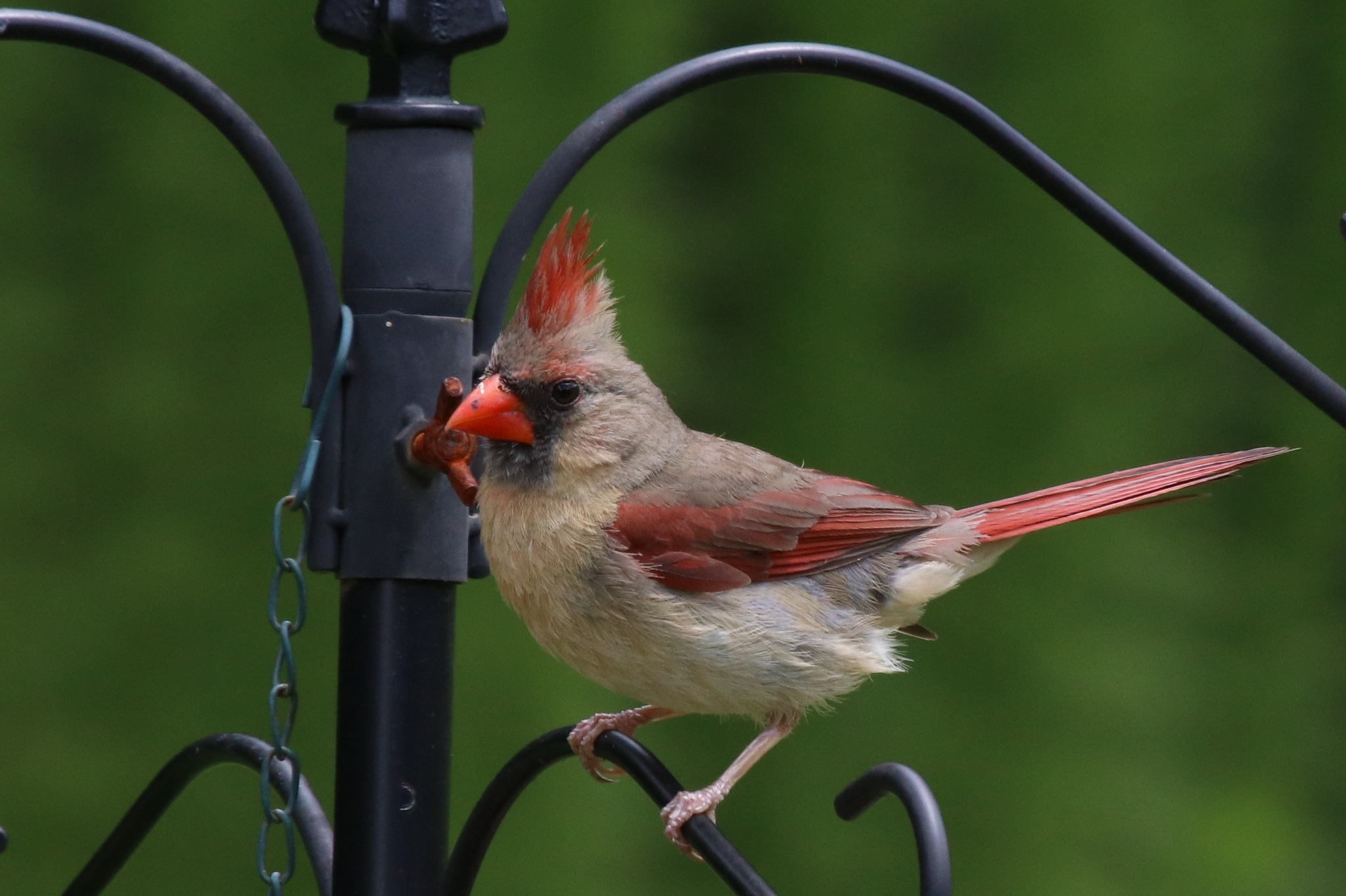 Female Cardinal by Gregory Kehle